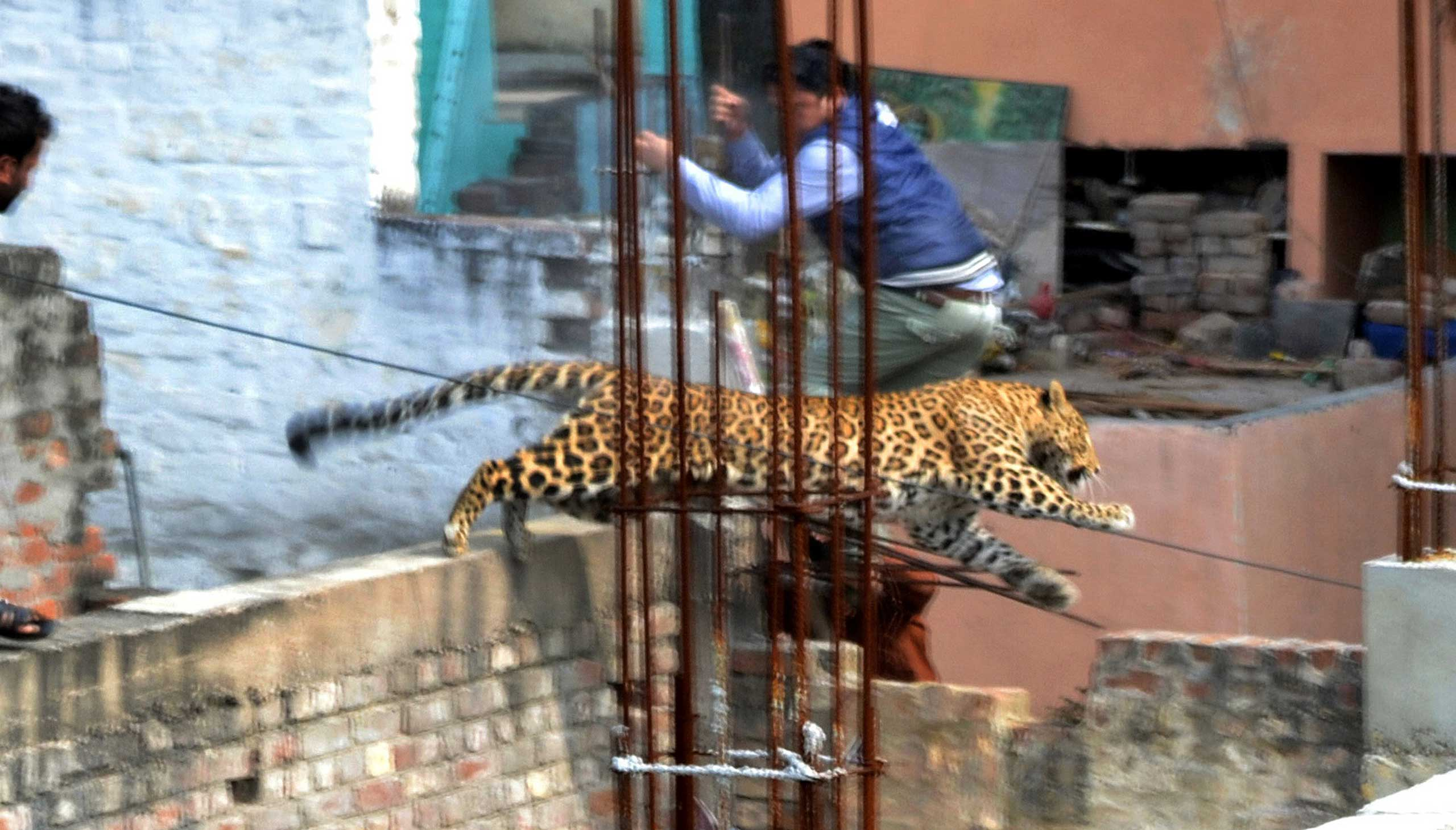 A leopard leaps across an under-construction structure near a furniture market in the Degumpur residential area as a bystander moves out of the way in Meerut, India, Feb. 23, 2014.