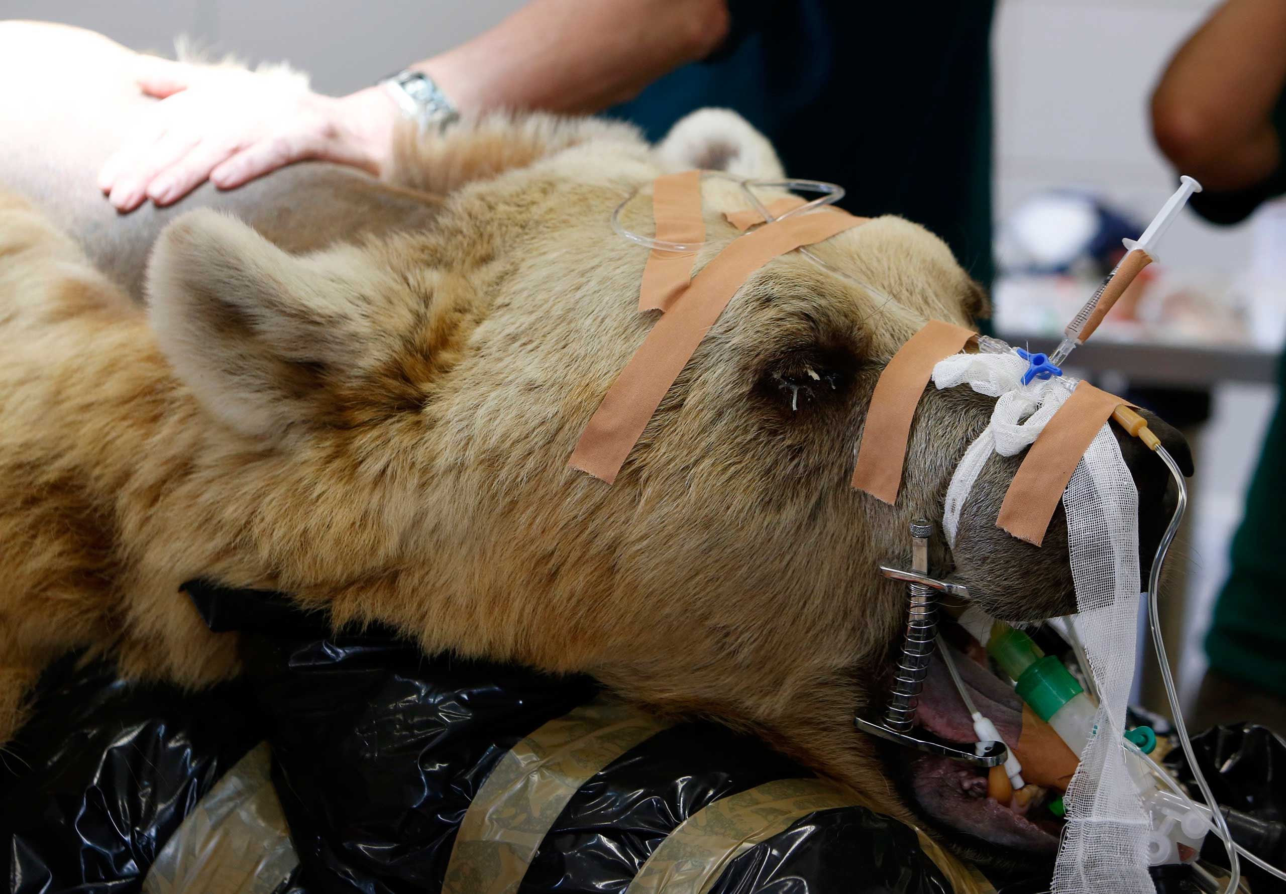 A zoo staff member touches Mango, a 19-year-old Syrian brown bear, during preparations for his surgery at the Ramat Gan Safari near Tel Aviv, May 7, 2014.