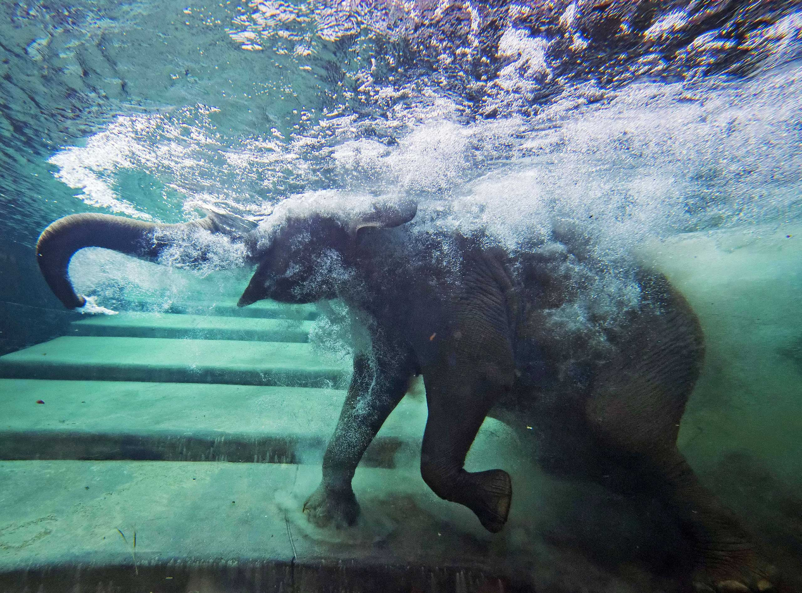 An elephant immerses behind a window in the elephants' indoor pool at the Zoo in Leipzig, Germany, Aug. 5, 2014.