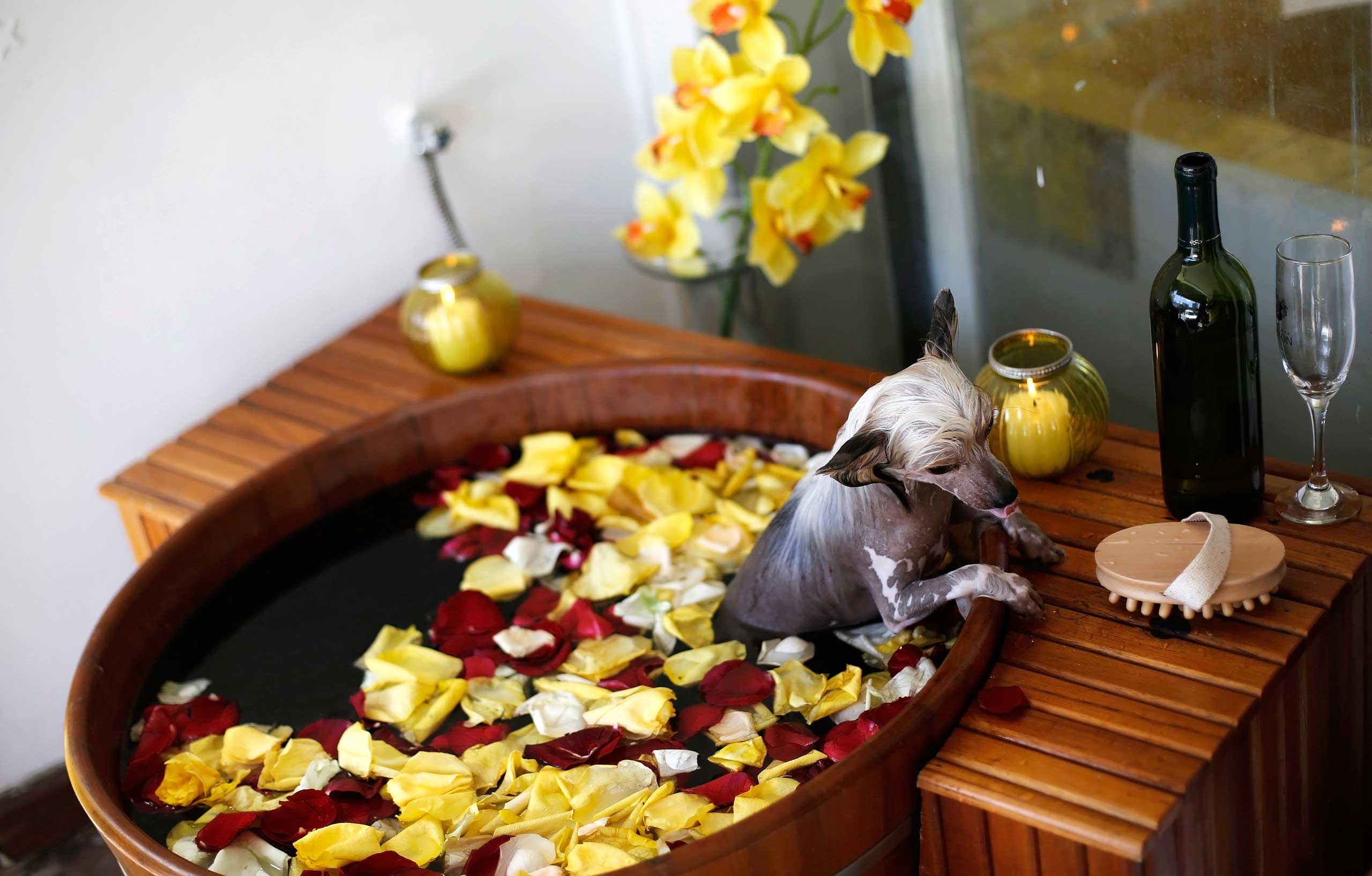 A Chinese Crested dog takes a bath at a pet salon, Sao Paulo March 27, 2014.