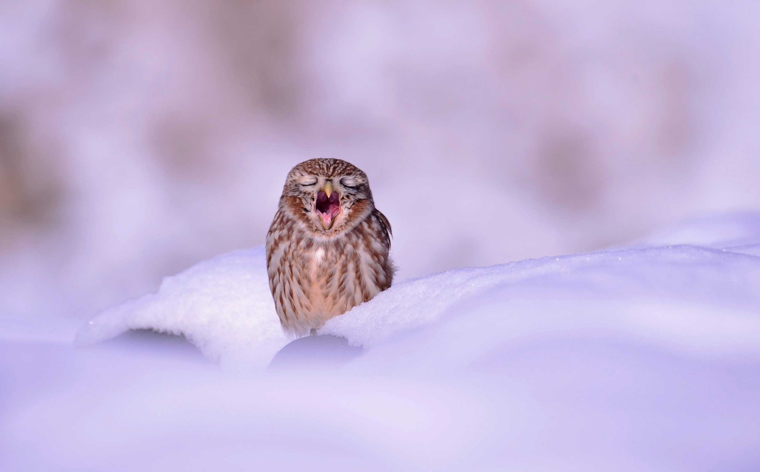 A small owl yawns as it sits in the snow in Ansung City, Gyeonggi Province, South Korea, Dec. 4, 2014.