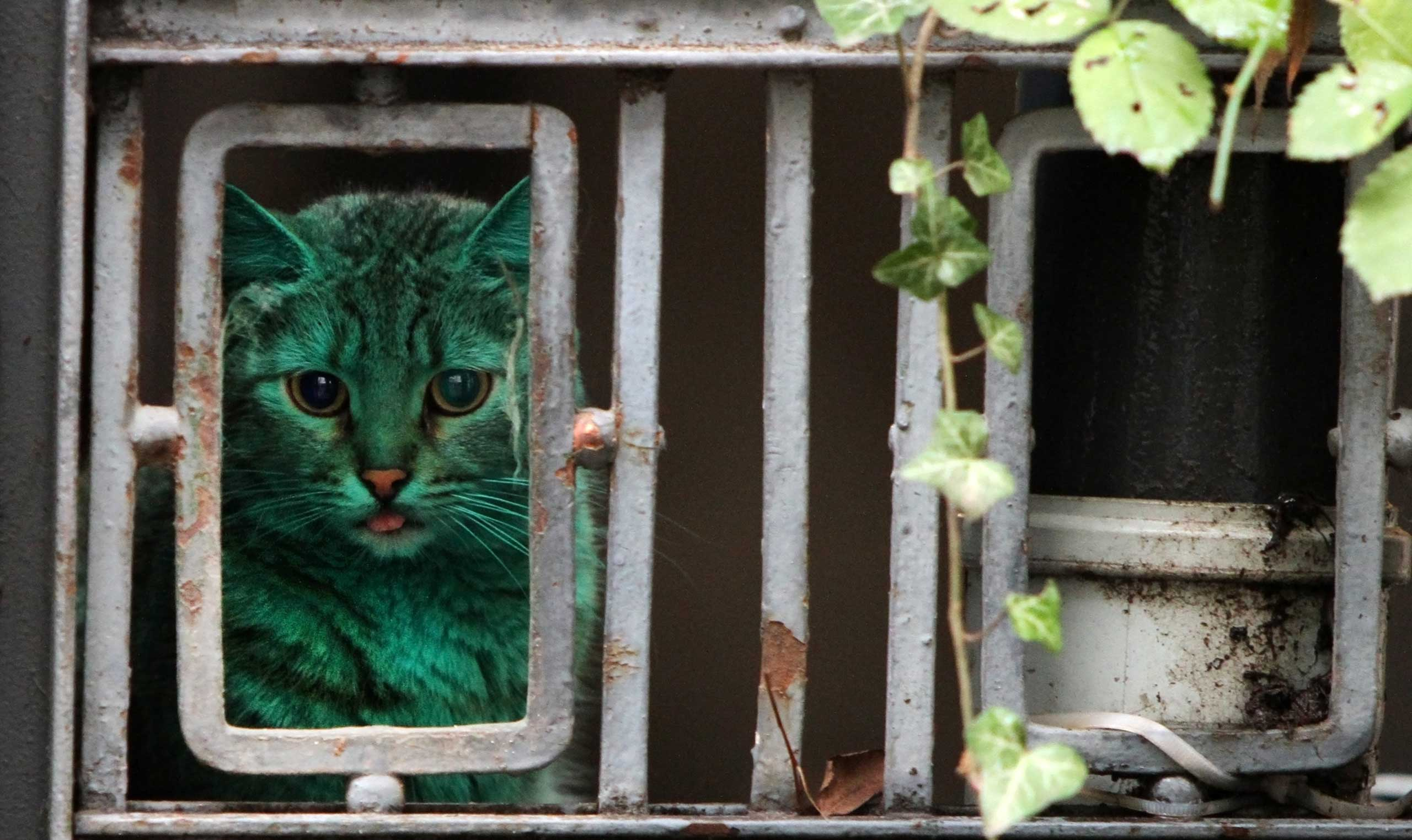A cat colored with green paint in Varna east of Sofia, Bulgaria, Dec. 05, 2014.