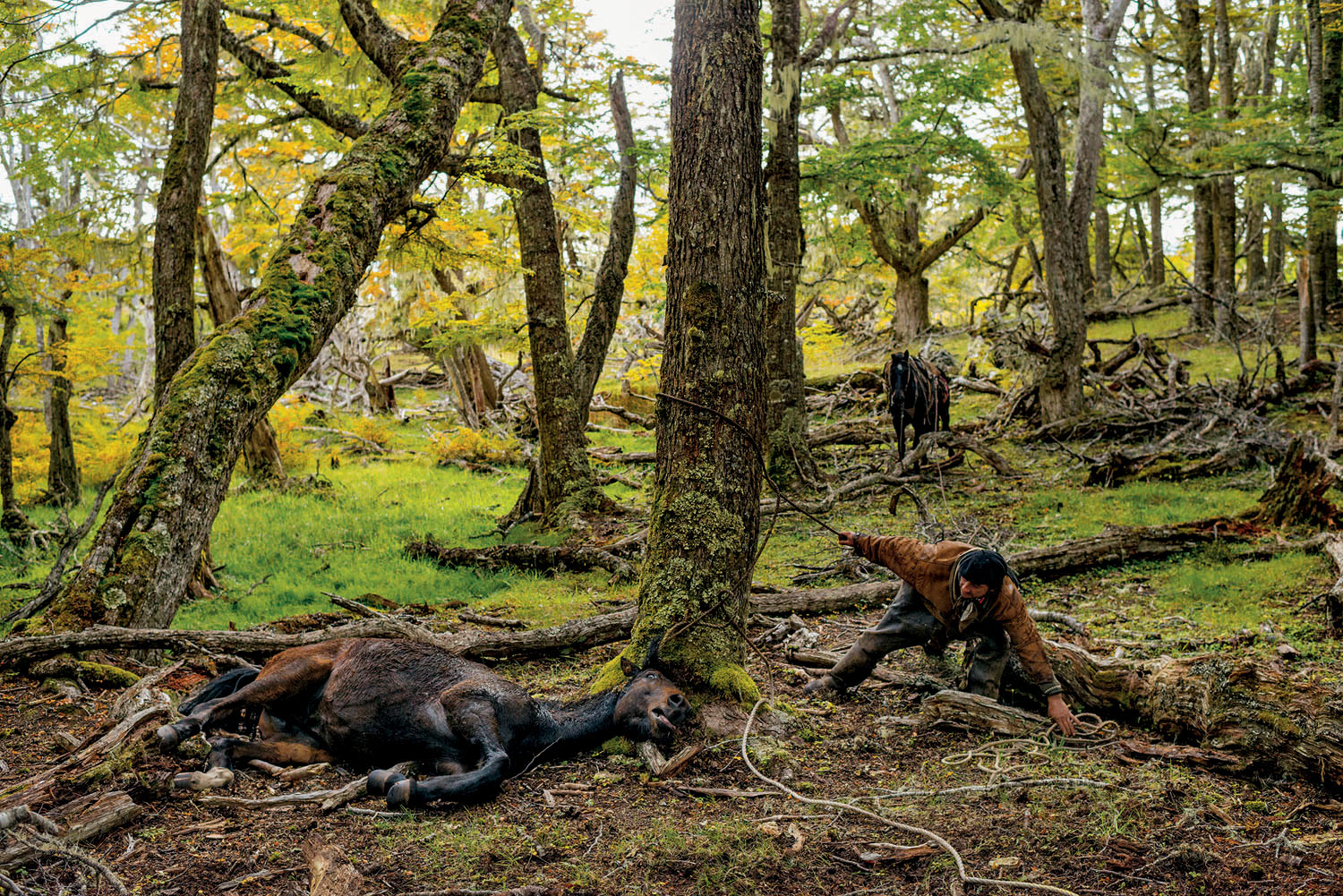 From the December issue of National Geographic magazine:  Cowboys on the EdgeFeral horses and cattle are tied to trees for two or three days until exhaustion renders them pliable and they can be led to ferries or trucks heading for market. Chilean Patagonia.