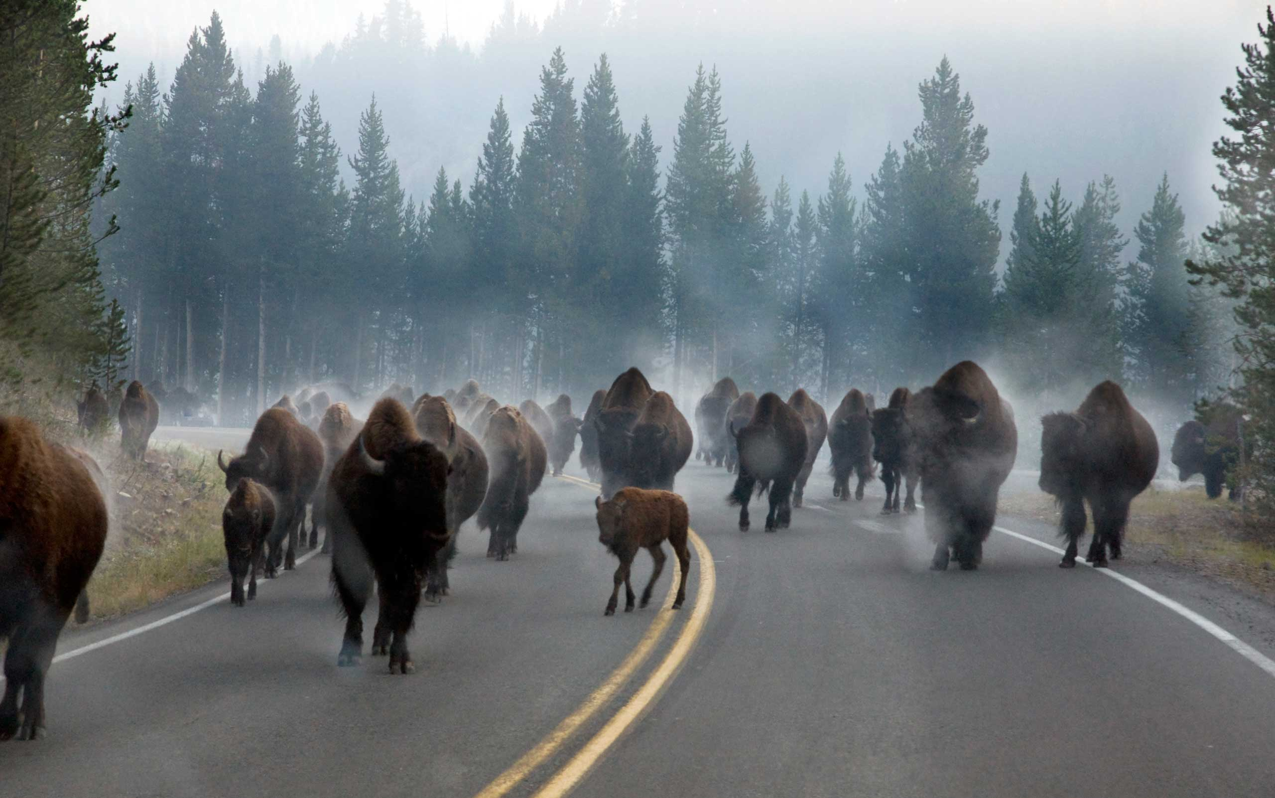 The morning commute is a little different at Yellowstone National Park. Cameron Patrick captured this photo on a cold morning -- just after the bison herd had waded through a river along the side the road. The bisons' body heat caused the water to turn to steam in the cold air, creating mist around the bison.