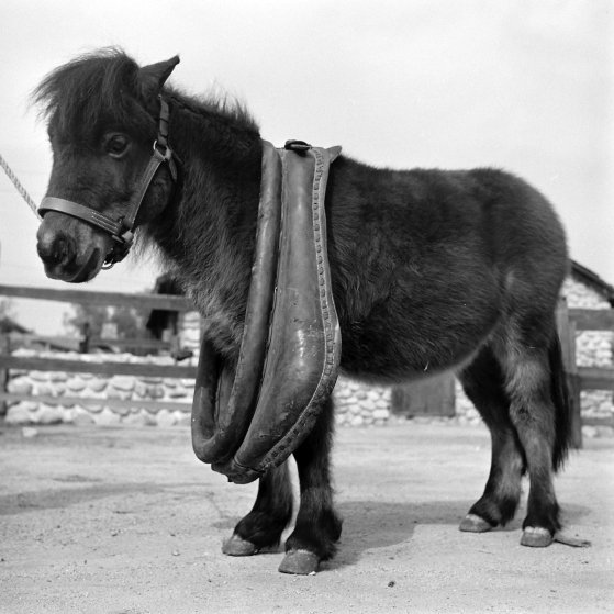 Ronnie stands uncomfortably with normal horse collar. He eats only four pounds of hay a day compared to 40 pounds for draft horse.
