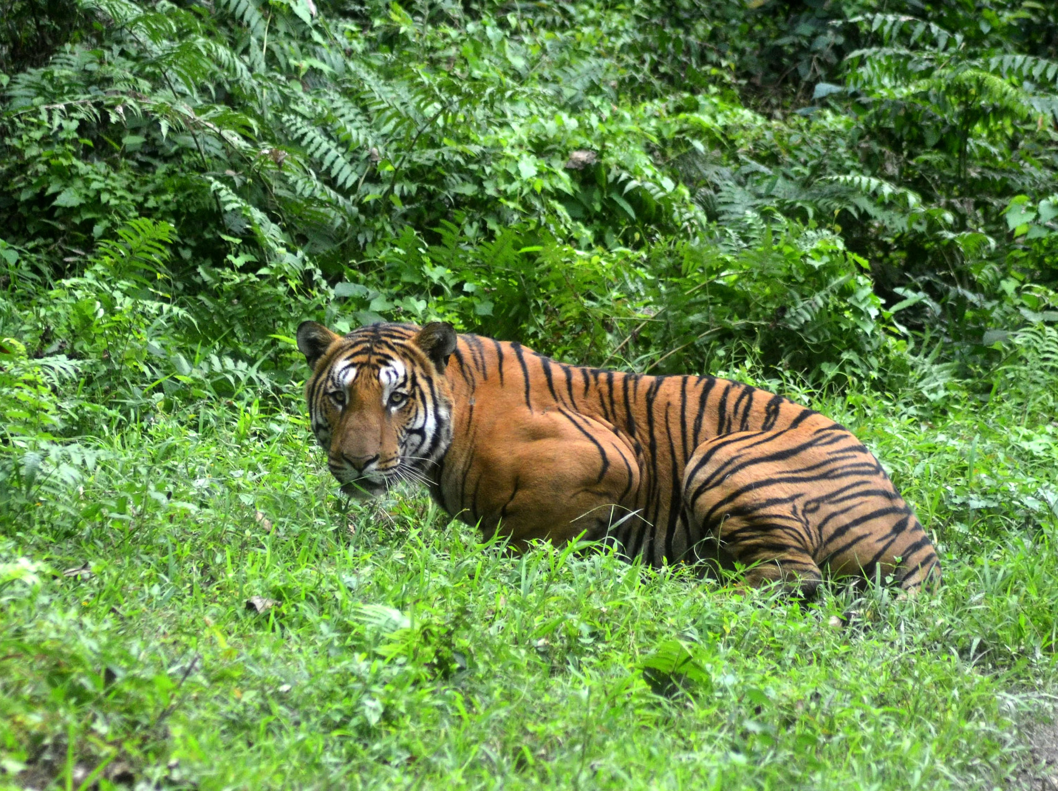 A Royal Bengal Tiger pauses in a jungle clearing in Kaziranga National Park, some 280 km east of Guwahati, India, In this photograph taken on Dec. 21, 2014