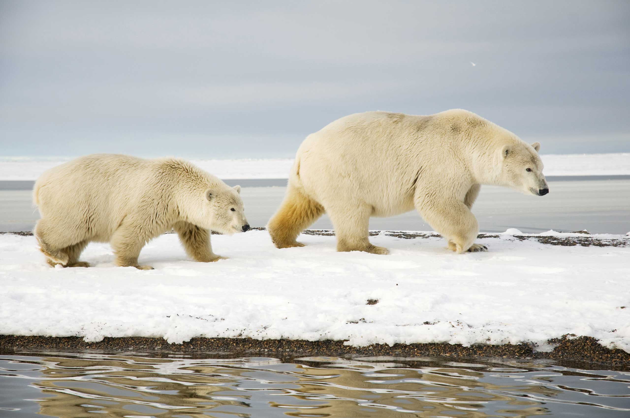 More than 50 polar bears have been spotted near the town of Belushya Guba, Russia