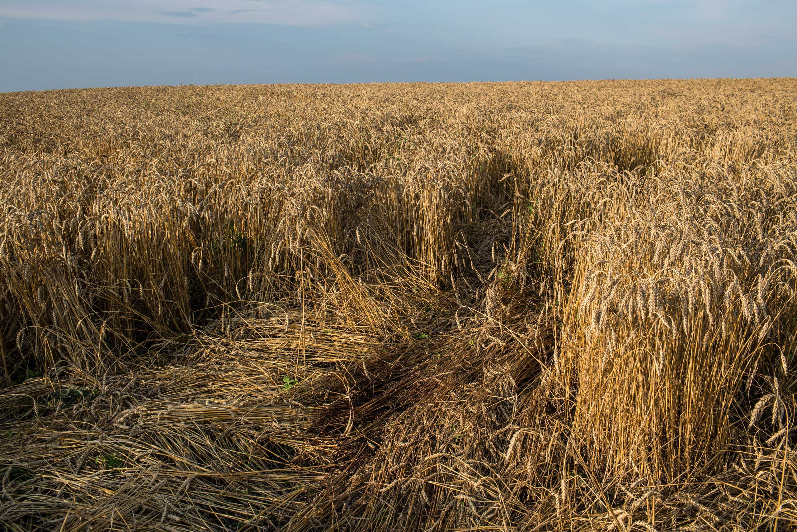 BBC Radio 4: Interview with Brendan Hoffman Blood stains the spot in a wheat field where the body of a passenger on Malaysia Airlines flight MH 17 landed and was later removed on July 19, 2014 in Grabovo, Ukraine.
