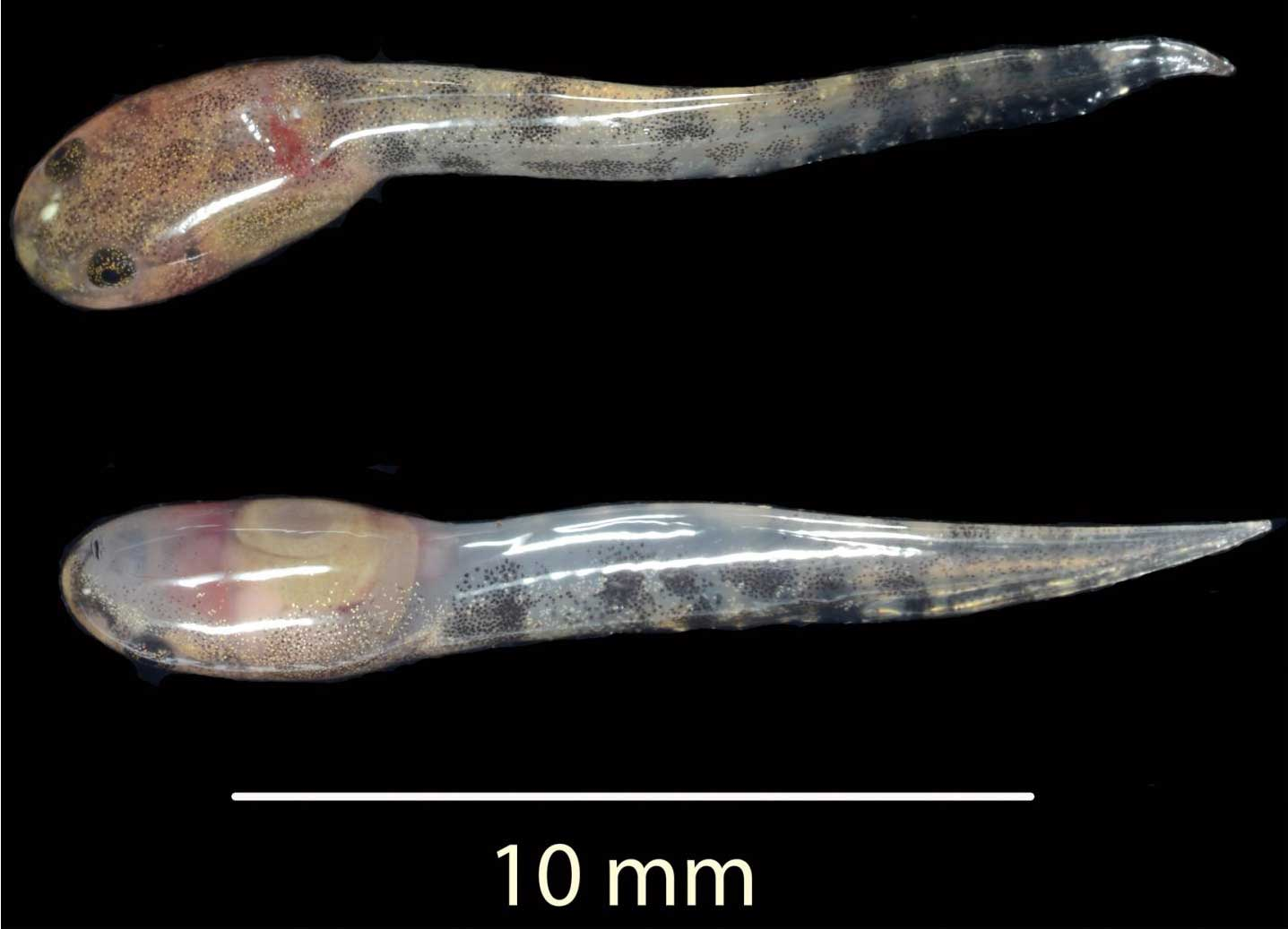Two tadpoles, each about 10 millimeters long, shortly after birth.