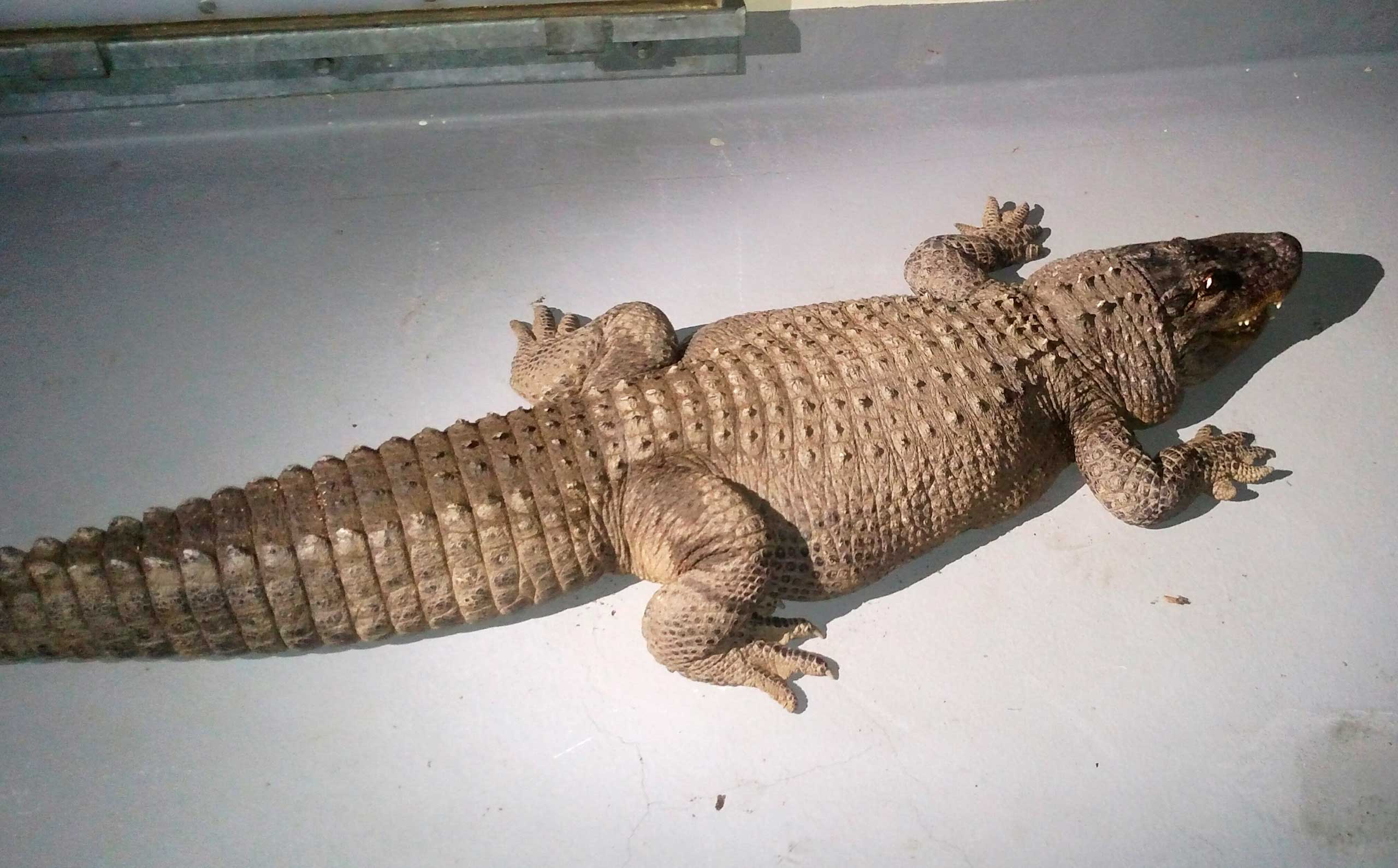 An 8-foot alligator was found in a box with two dead cats in the backyard of a home in the Van Nuys area of Los Angeles.