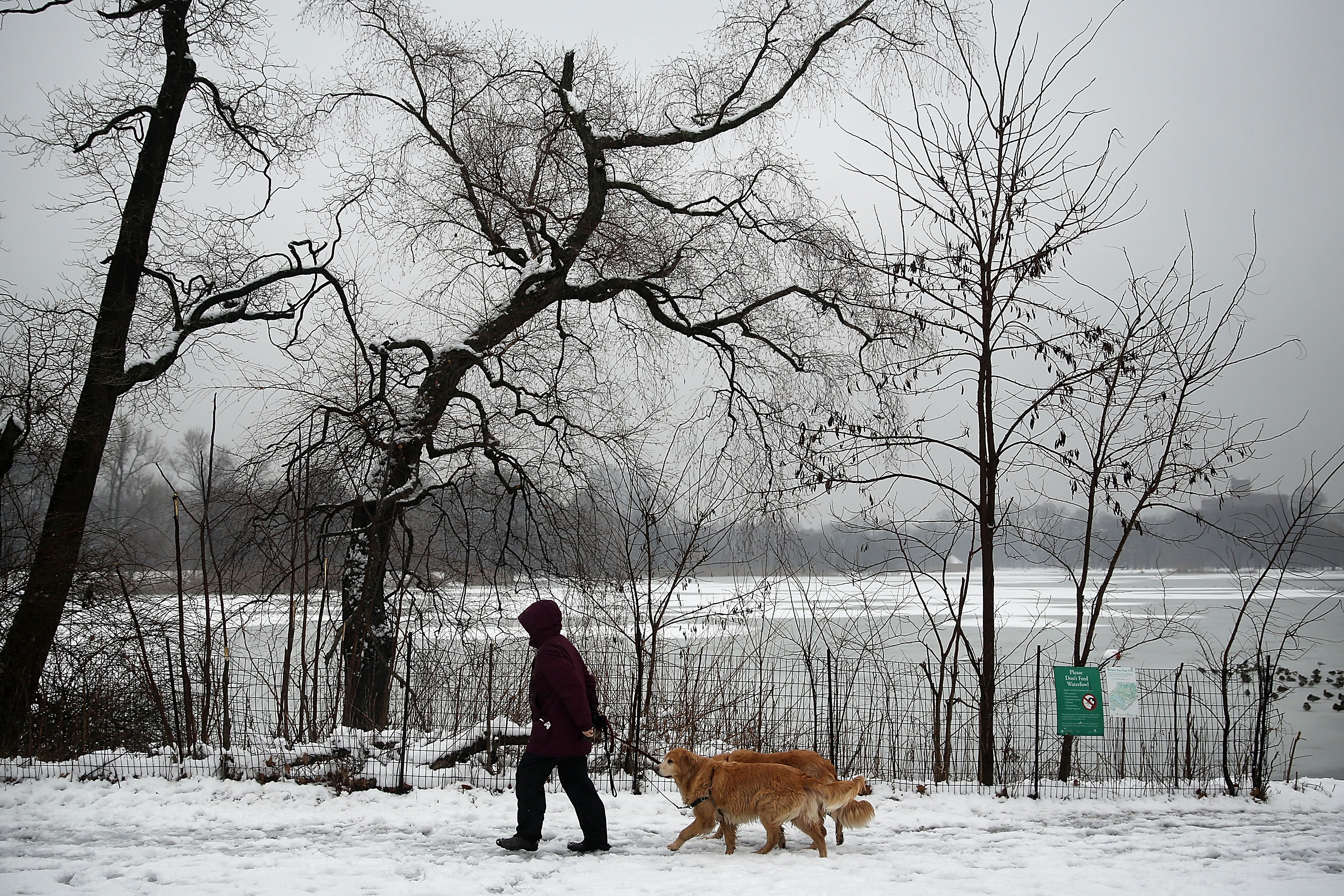 A woman walks dogs in Brooklyn's Prospect Park following an evening storm on Jan. 24, 2015 in New York City.