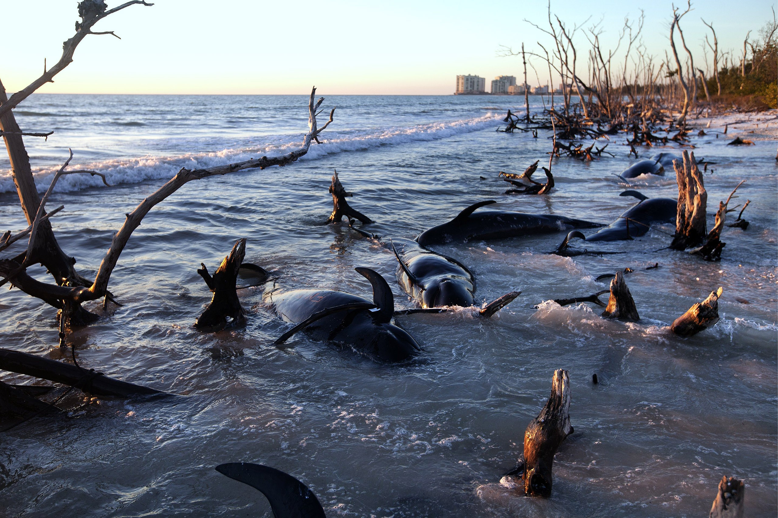 Twenty-five pilot whales beached themselves on Kice Island off southwest Florida in 2014. Sickness related to environmental problems can trigger beachings, which are on the rise