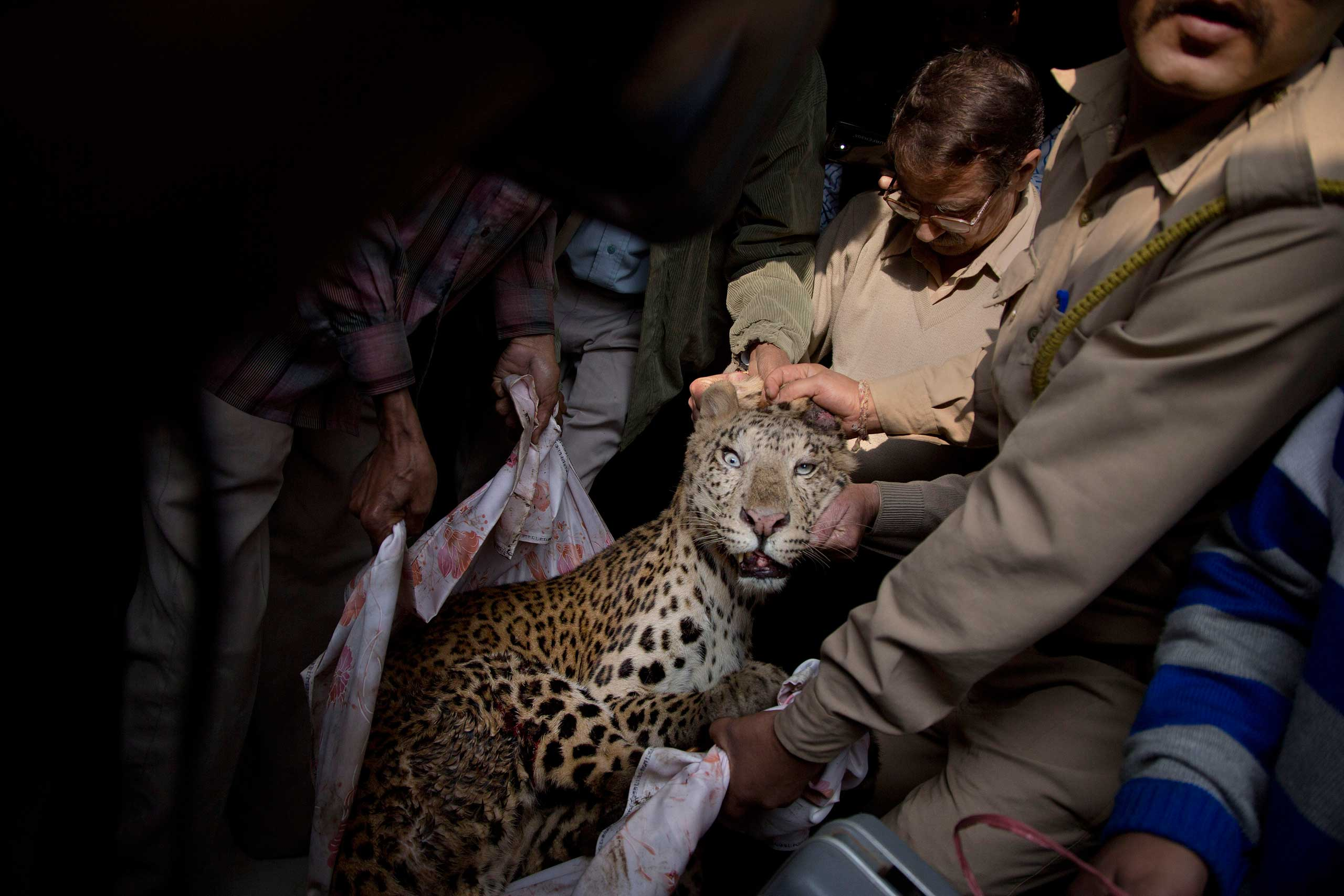 Jan. 7, 2015. Forest officials carry an injured leopard after it was tranquilized in the bedroom of a building in the center of the city in Gauhati, India.