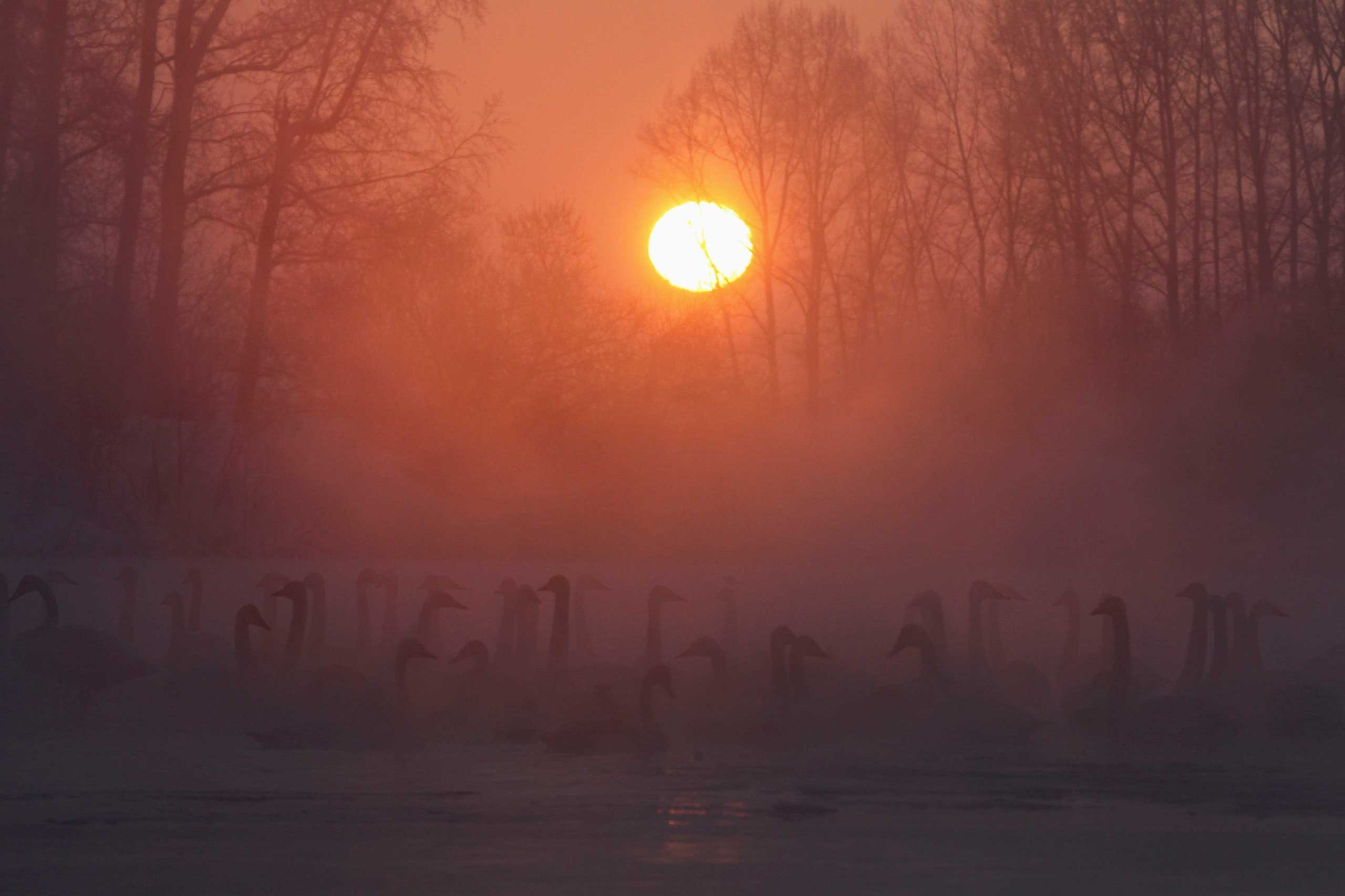 Jan. 26, 2015. Swans swim over a lake, with the air temperature at about -31 degrees Fahrenheit as steam ascends above the water during sunset near the village of Urozhainy, Sovetsky district of Altai region, Russia.