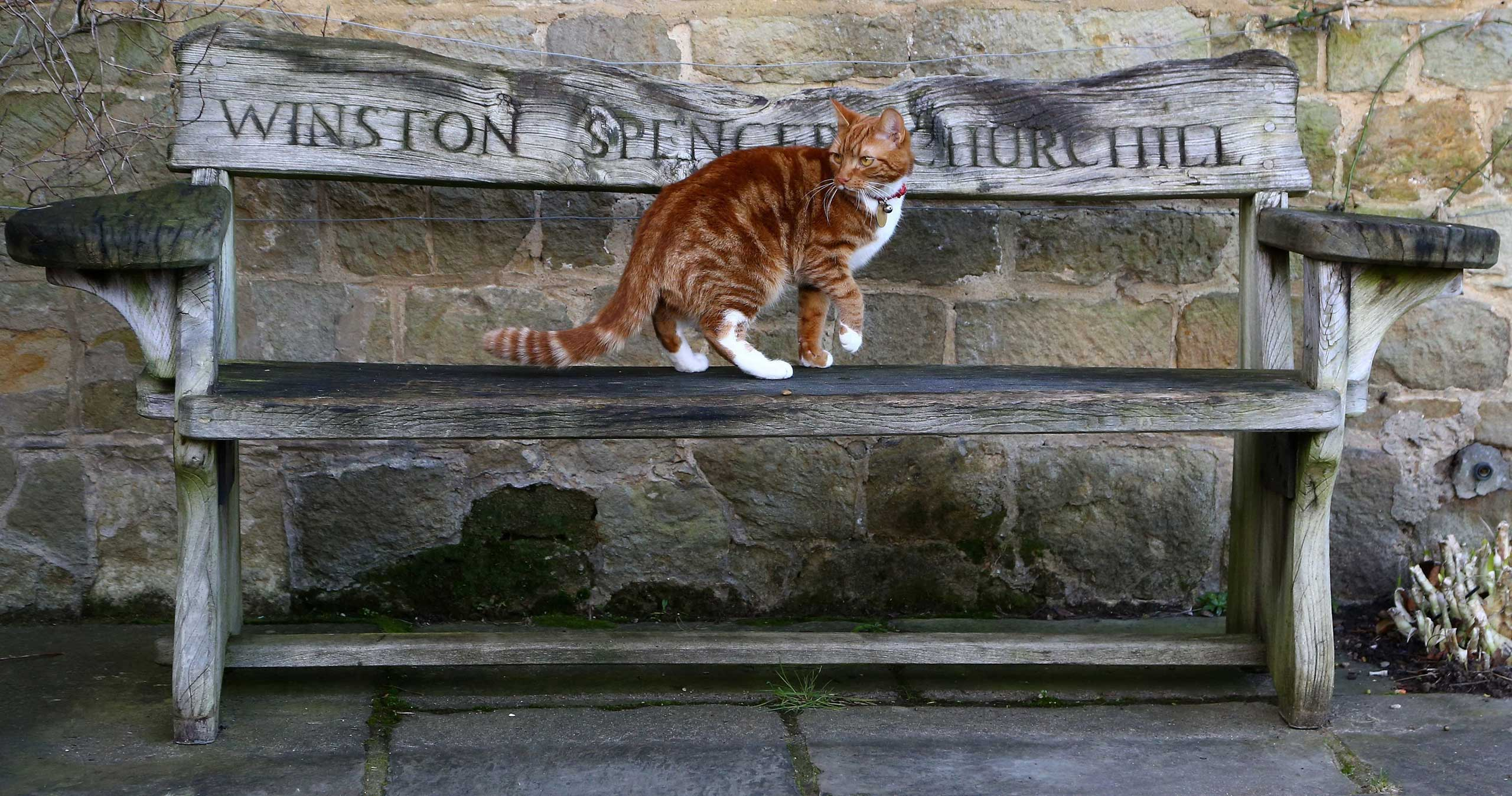 Jan. 25, 2015. Jock VI, the current cat in residence at Chartwell, is seen on a memorial bench during a preview of Death of a Hero  exhibition at Winston Churchill's family home.