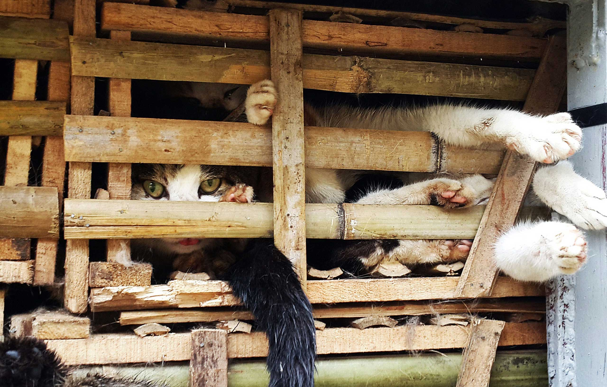 Jan. 27, 2015. Seized cages of live cats are transported in a truck in Hanoi. The cats are destined for consumption after being smuggled from China.