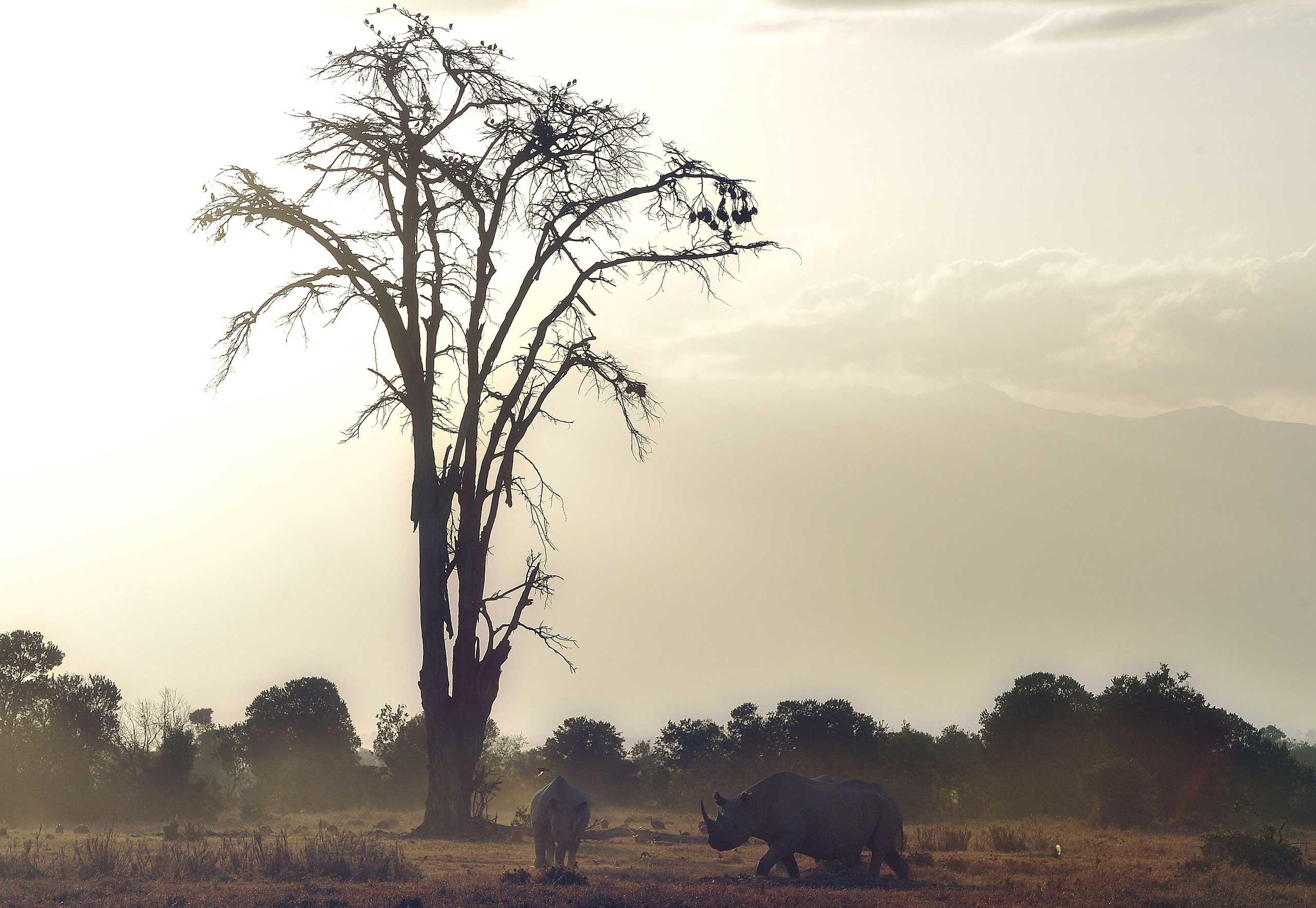 Jan. 28, 2015. Southern white rhinoceros walk through the Ol Pejeta Conservancy north of the Kenyan capital Nairobi, as conservationists and scientists met in Kenya to come up with a last ditch plan to save the rhinoceros from extinction.