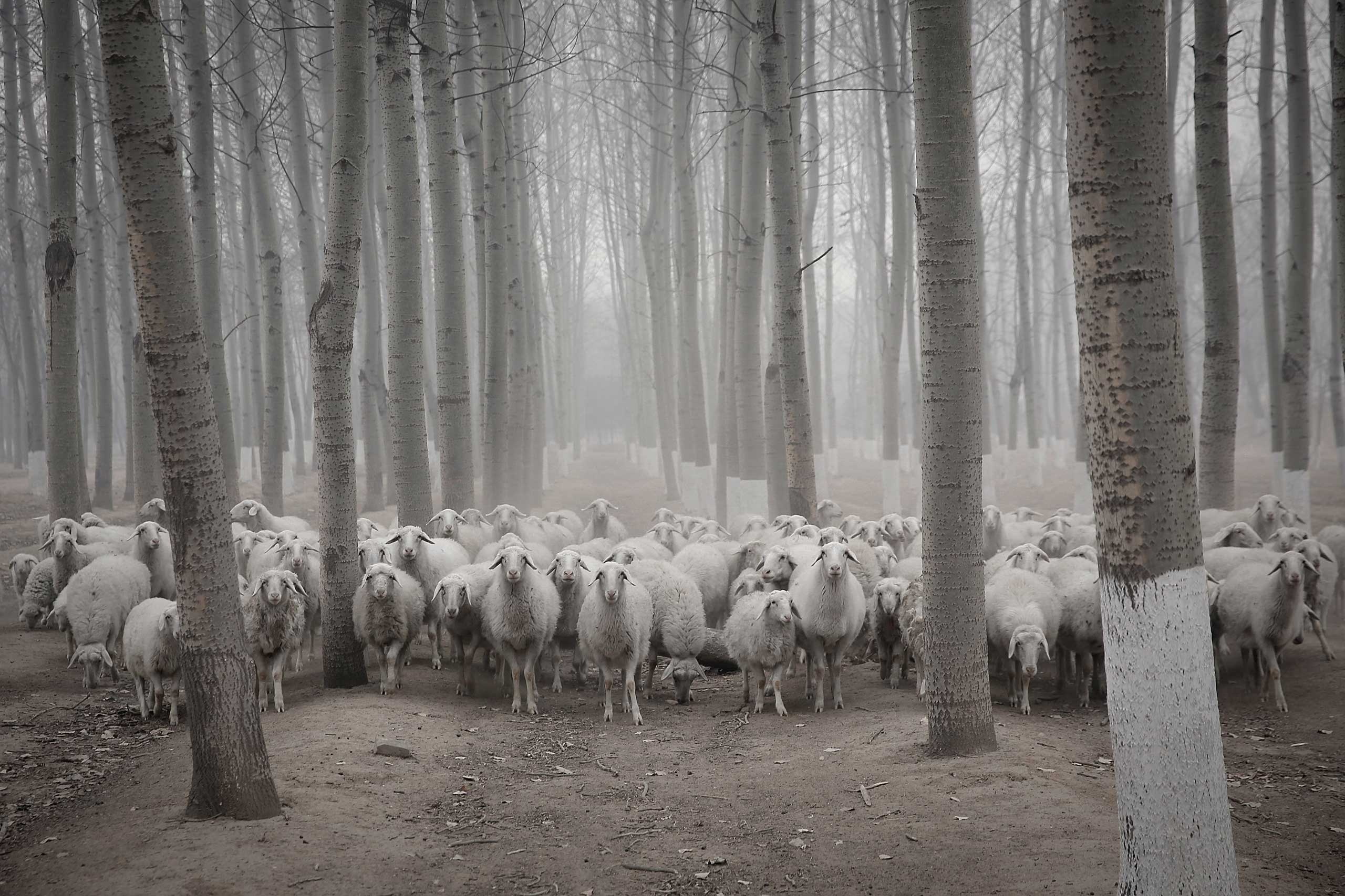 Jan. 15, 2015. A flock of sheep walk in the haze in a Beijing suburb in China.