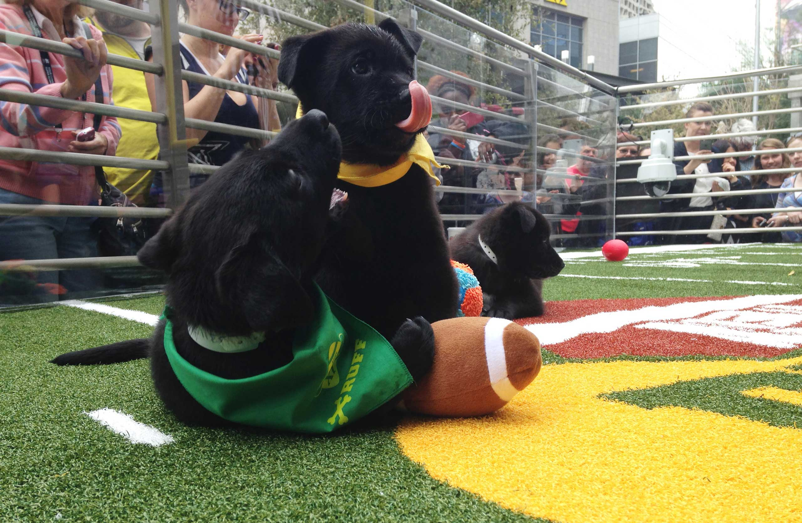 Puppies tussle with a plush football at the  Puppy Bowl  in Phoenix, Jan. 29, 2015.