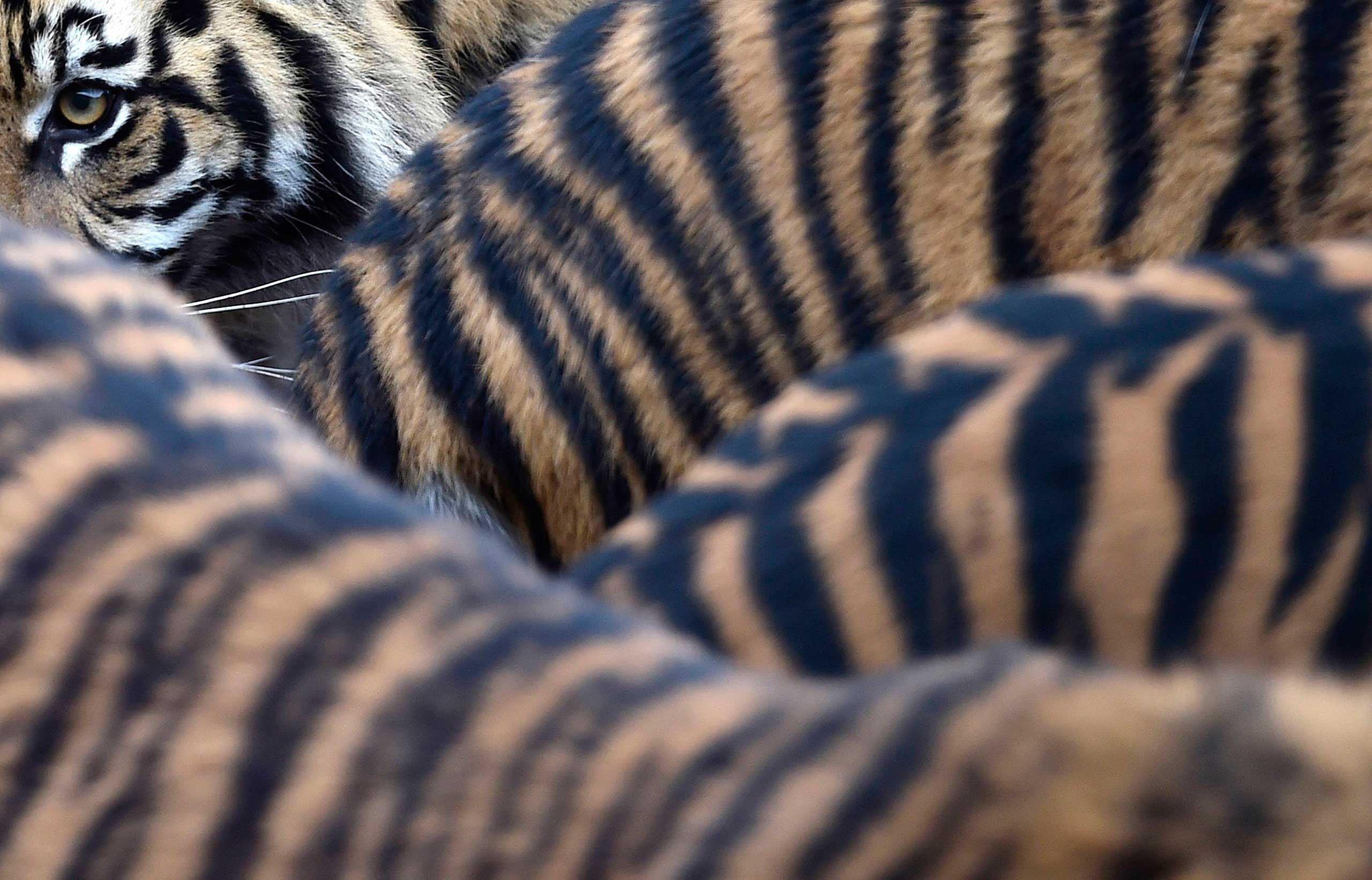 Sumatran tiger cubs and their parents walk around their enclosure at London Zoo in London, Jan. 5, 2015. during the annual stock take and animal count, which is a requirement of London Zoo's license.