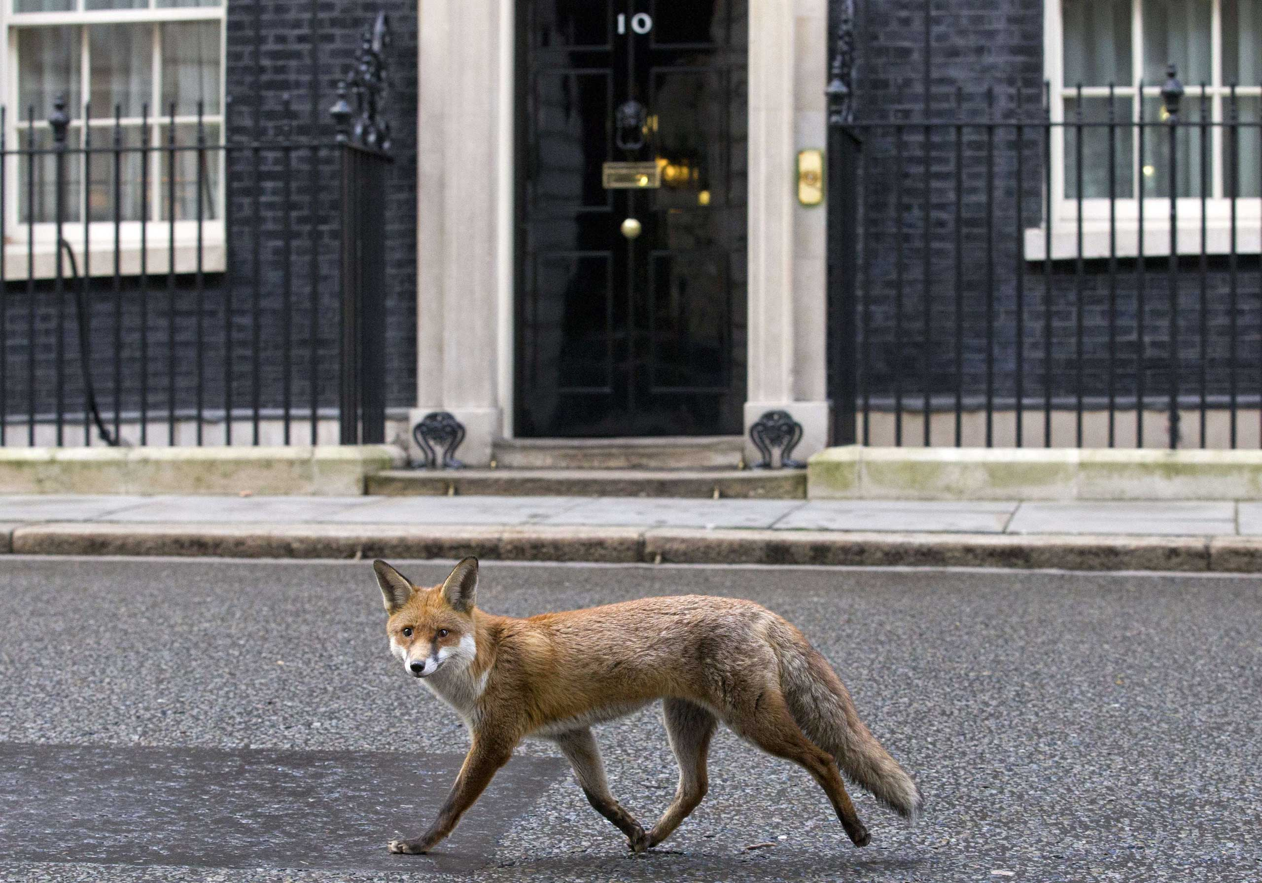 A fox runs past the door of 10 Downing Street in London on Jan.13, 2015.