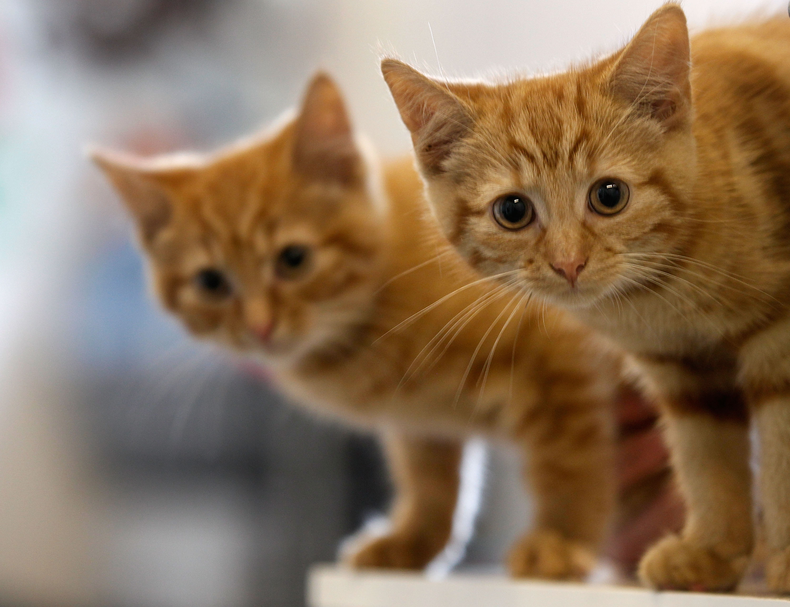 Milly, a 13-week-old kitten waits with her brother Charlie (L) to be re-homed at The Society for Abandoned Animals Sanctuary in Sale, Manchester which is facing an urgent cash crisis and possible closure on July 27, 2010 in Manchester, England.