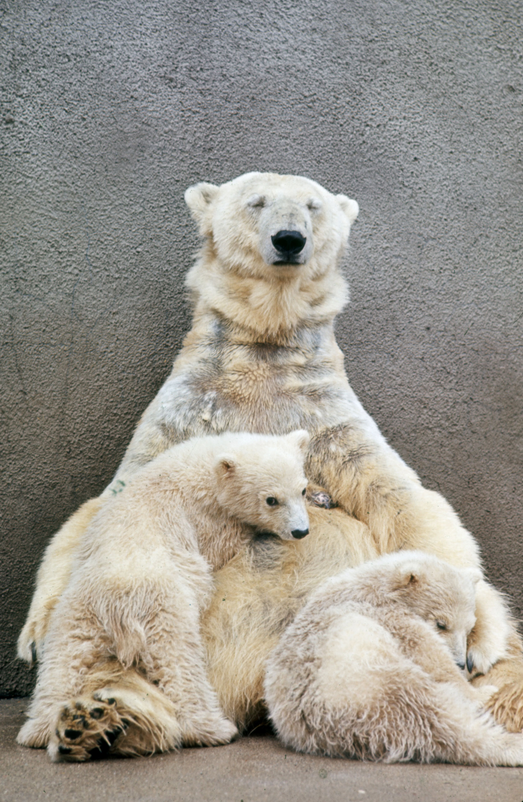 Caption from LIFE. Hilda, the 15-year-old grande dame of Detroit's bears, cradles her latest set of twins, her fourth pair. These 25-pound youngsters, both females, have been promised to the Sydney zoo in Australia.