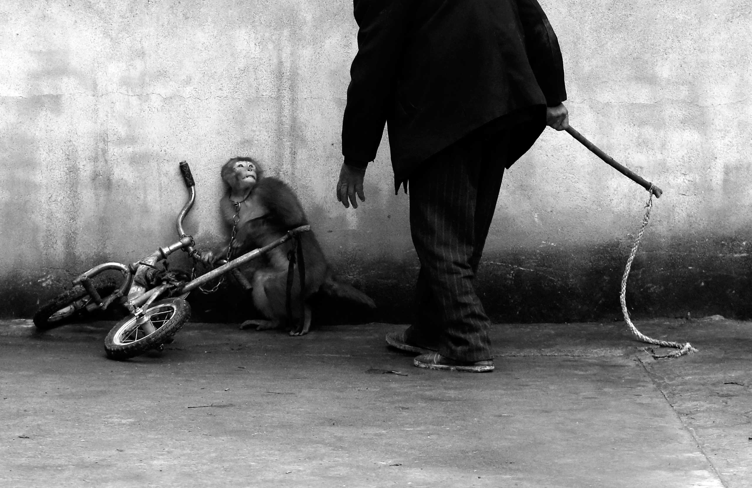 <b>First Prize Nature Category, Singles</b>                                   A monkey being trained for circus cowers as its trainer approaches. With more than 300 roupes, Suzhou is known as the home of the Chinese circus.