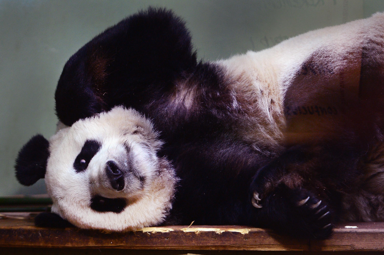 Tian Tian the female panda at Edinburgh zoo sits inside her enclosure on April 4, 2014