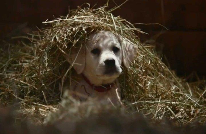 Budweiser Puppy Super Bowl