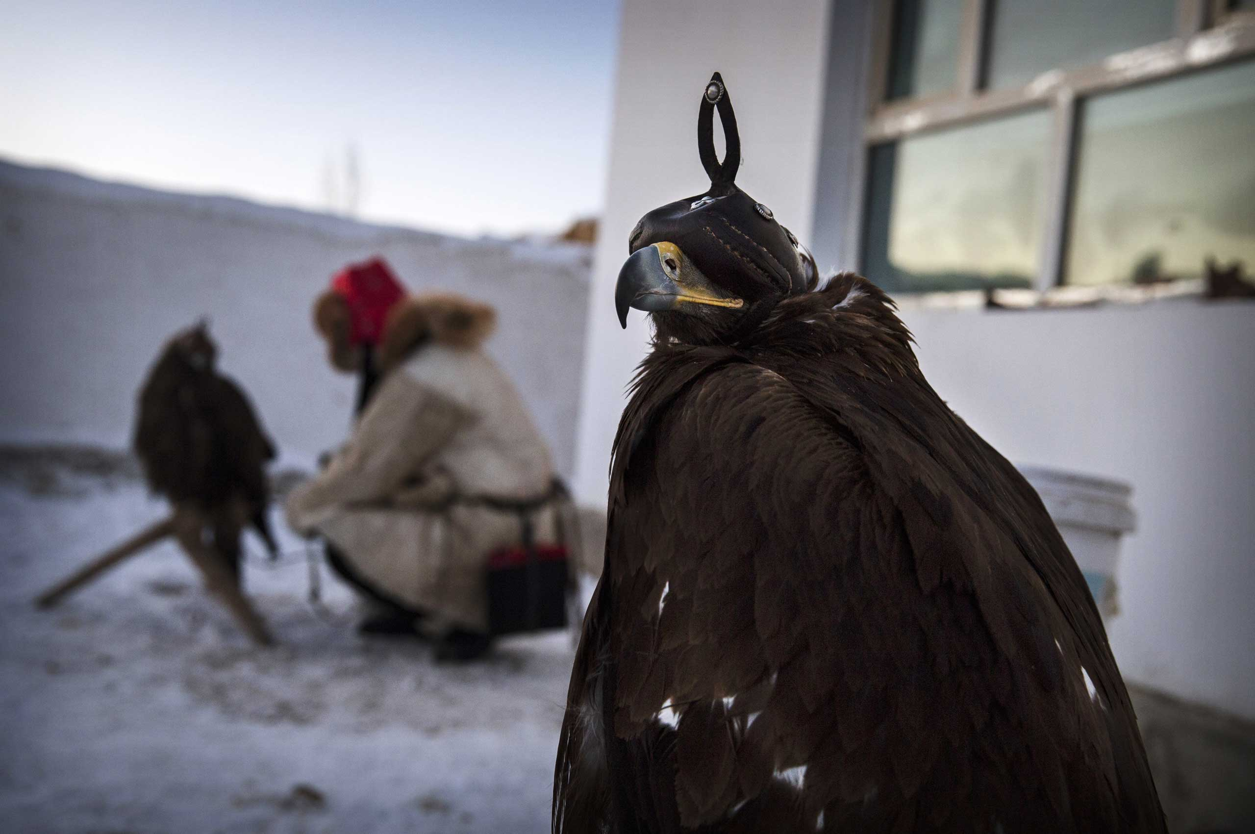 Chinese Kazakh eagle hunter Yermazhan Beysenbay places an eagle on a perch as another eagle sits nearby outside the family house before the competition.