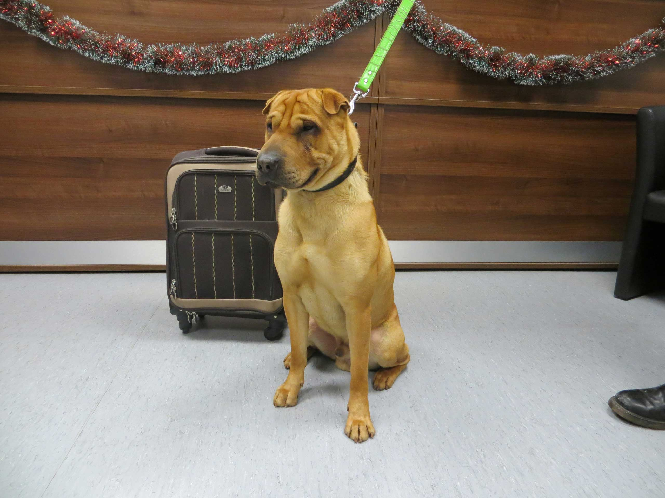 The male shar-pei crossbreed that was discovered tied to a railing outside the station in Ayrshire, Scotland, Jan. 2, 2015.