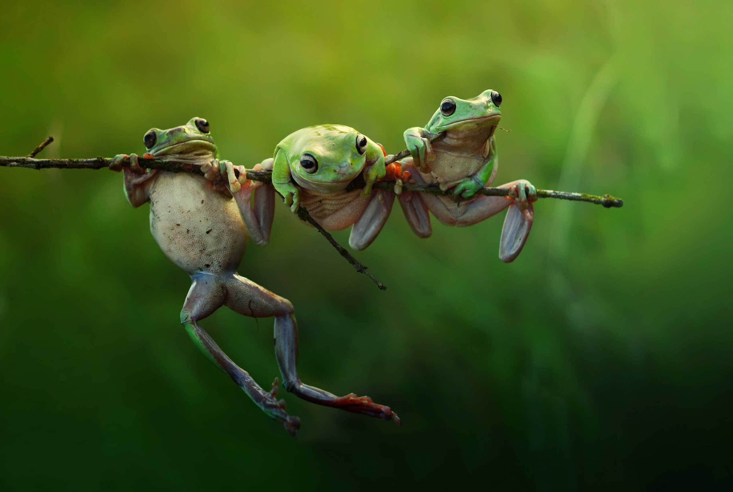 Nominated in the Nature and Wildlife category. Harfian Herdi's work on frogs in Indonesia.