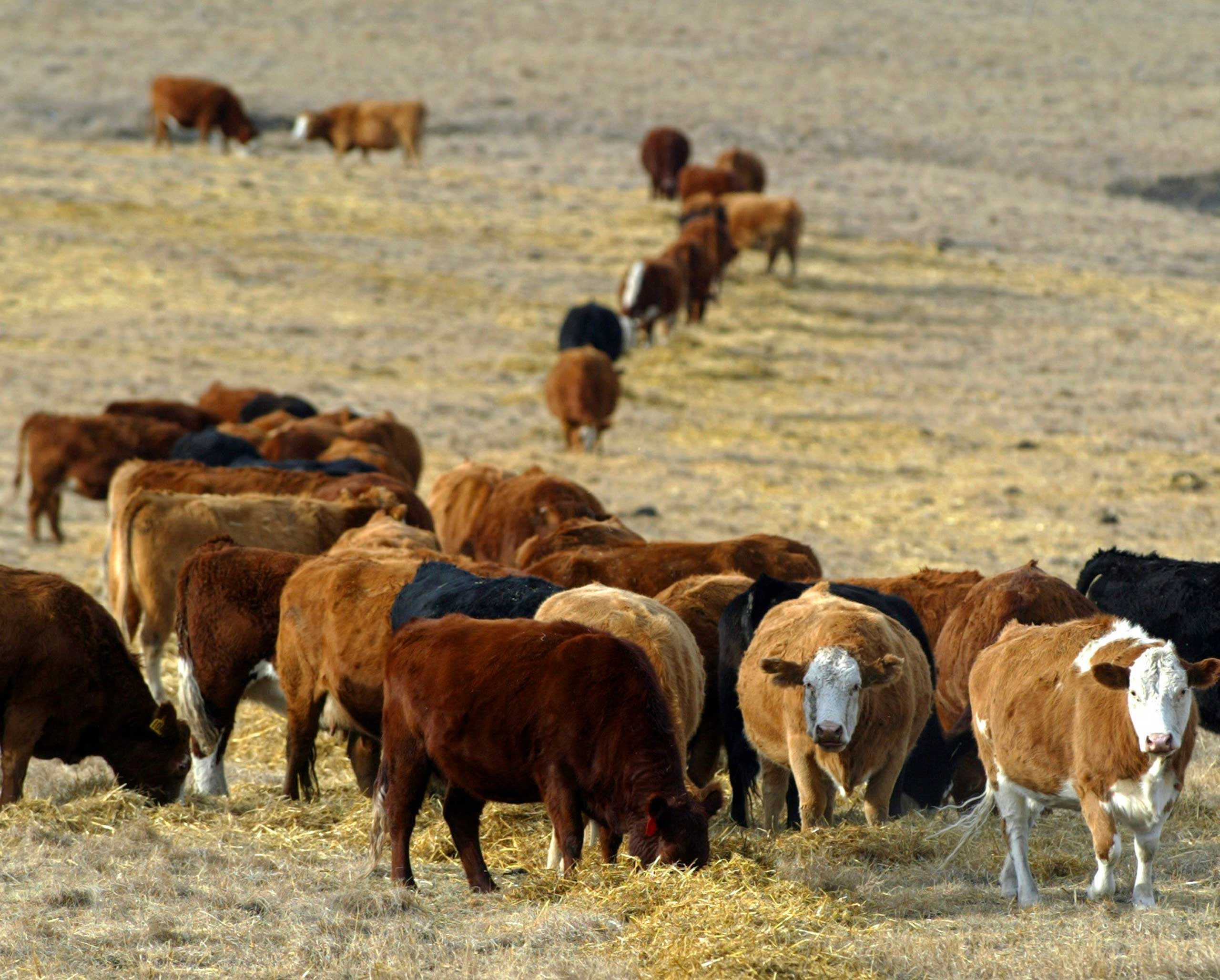 Cattle graze in a pasture in the foothills of the Rocky Mountains west of Calgary, Alberta in 2006.