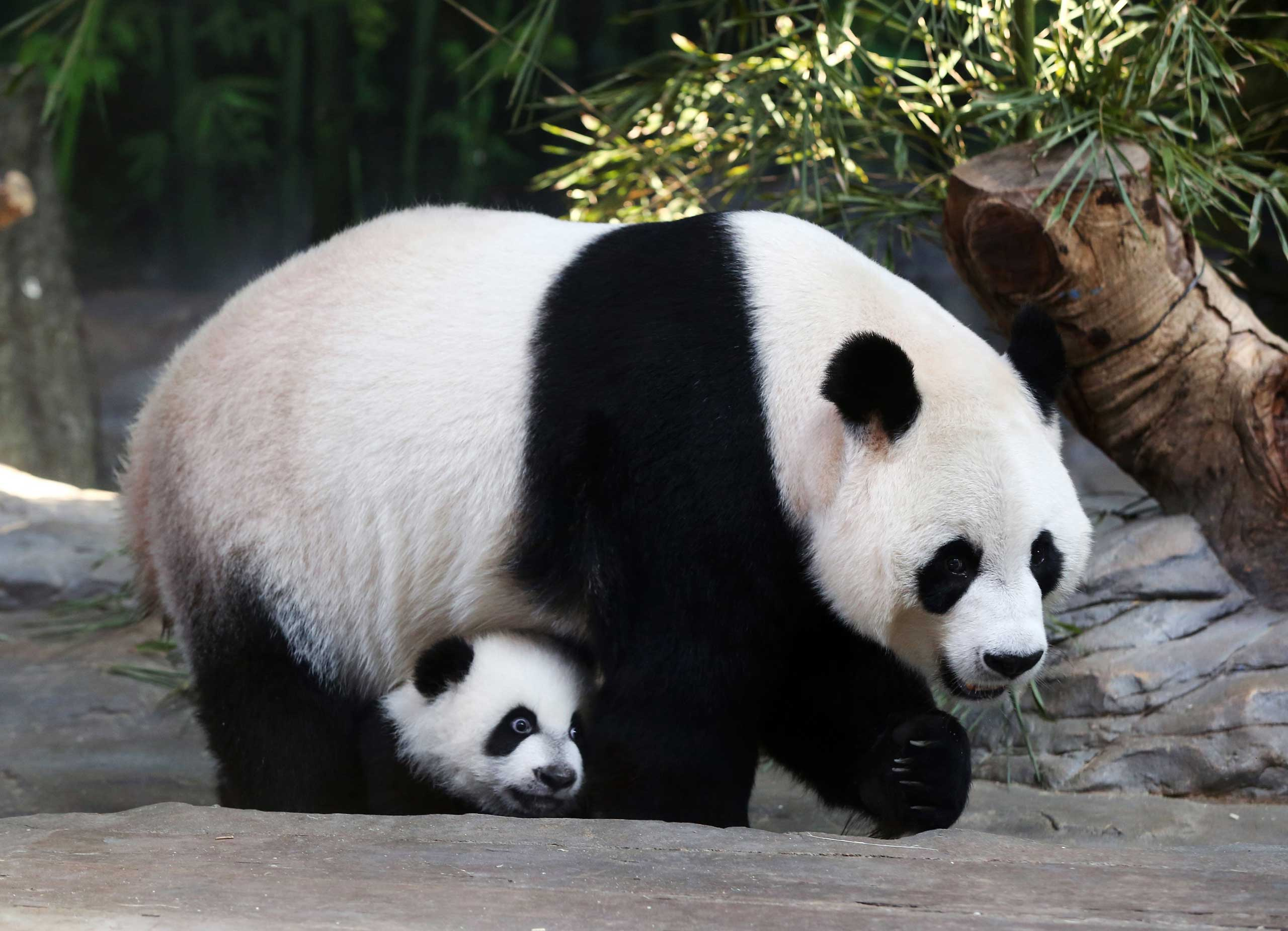 Mother giant panda Juxiao is seen with one of her triplets at Chimelong Safari Park in Guangzhou, Guangdong province, Dec. 9, 2014.