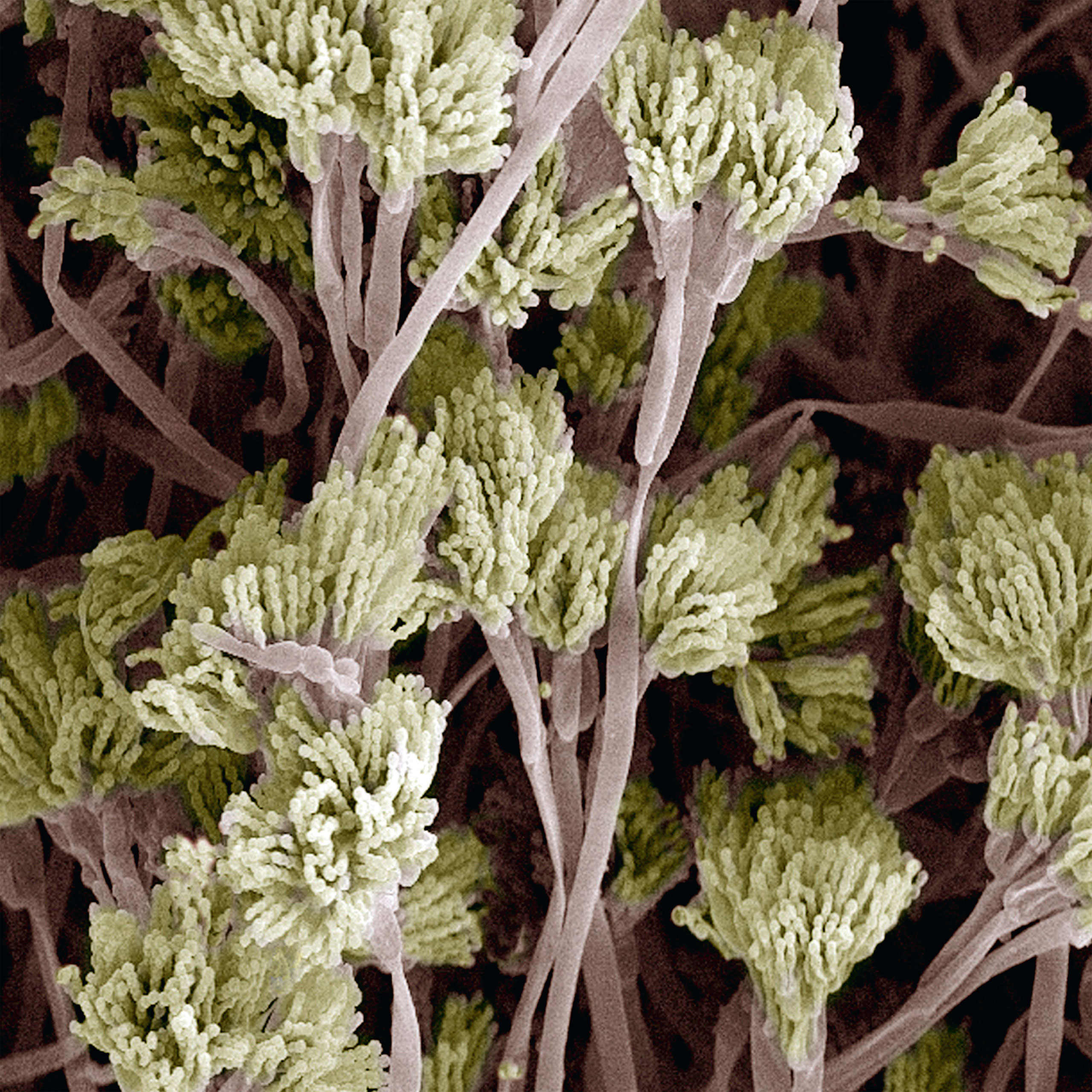 <b>Penicillium fungus</b> (colored scanning electron micrograph)