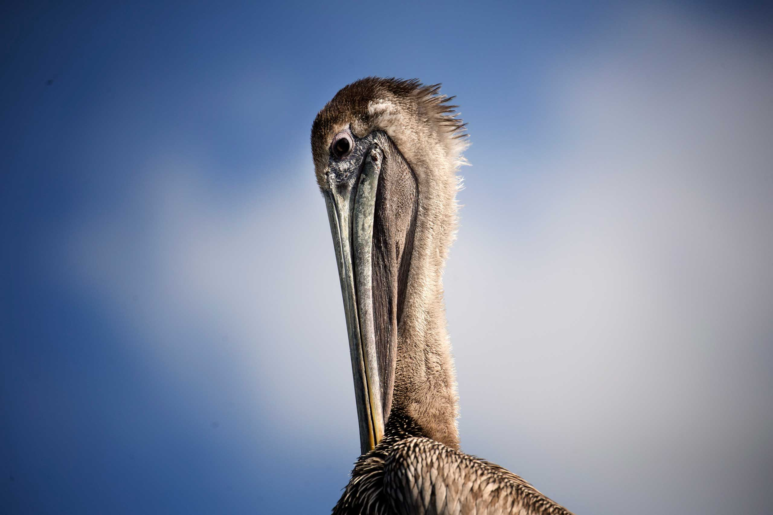 Feb. 3, 2015. A pelican sits in the sun at Miami's Pelican Harbor Seabird Station. The rehabilitation manager reports that 75 percent of the seabirds treated at the station were injured by fishing line and hooks.
