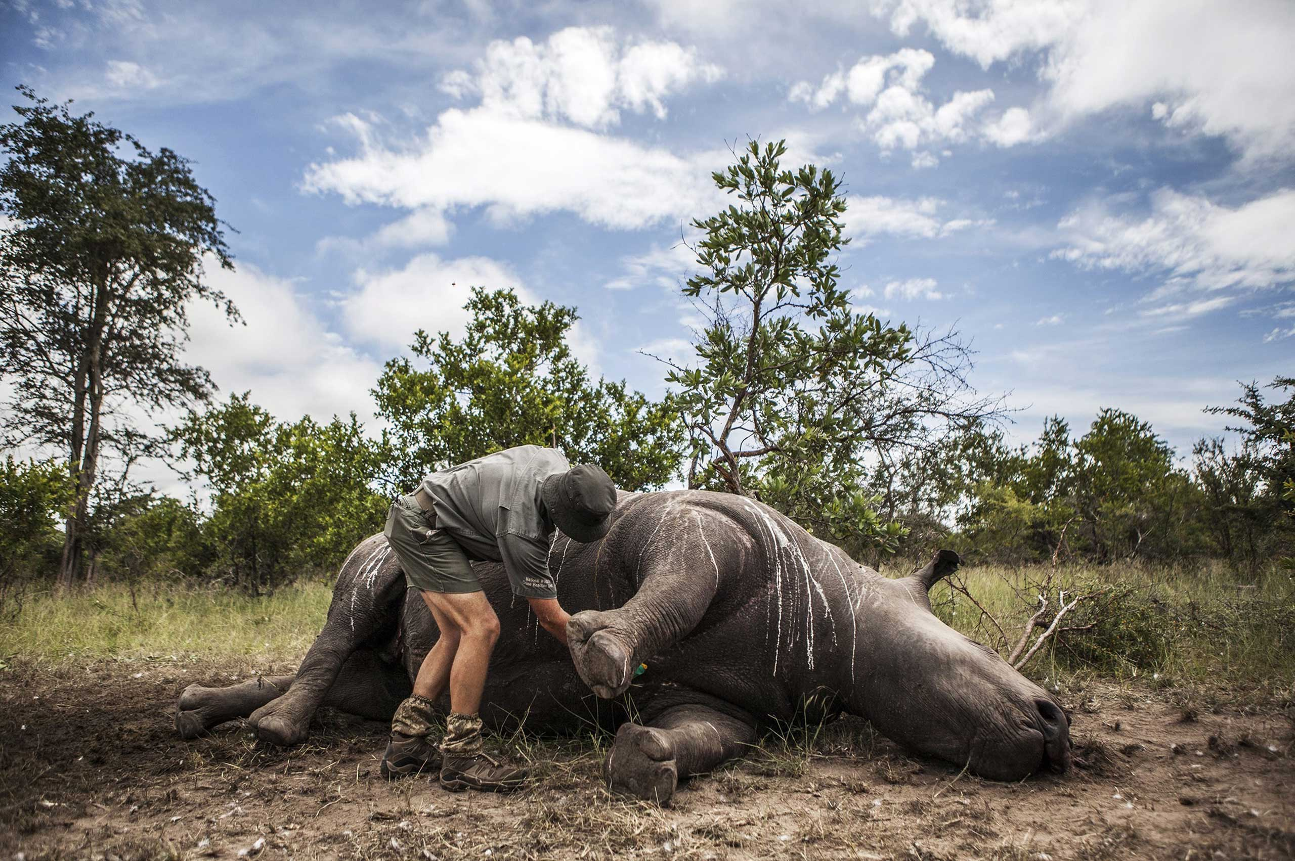 Feb. 4, 2015. Frikkie Rossouw of the SANParks' Environmental Crime Investigations Unit prepares the carcass of a rhino killed for its horn for postmortem in Kruger National Park, South Africa. According to reports, 1215 rhinos were poached in South Africa in 2014, of which 827 were in the Kruger National Park.