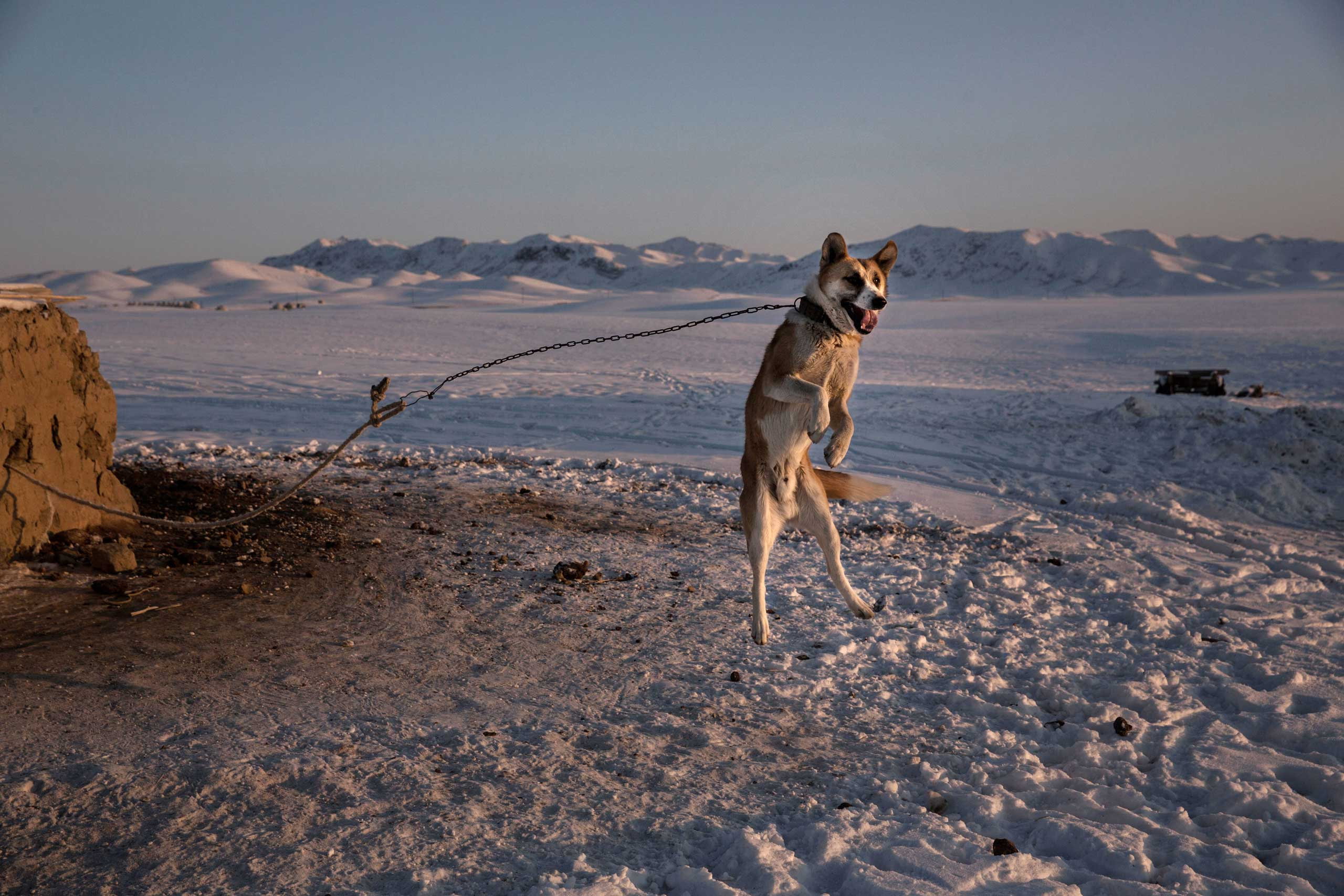 Jan. 30, 2015.  A shepherd dog leaps in the air as it protects a homestead next to a local eagle hunting competition in the mountains of Qinghe County, Xinjiang, northwestern China.