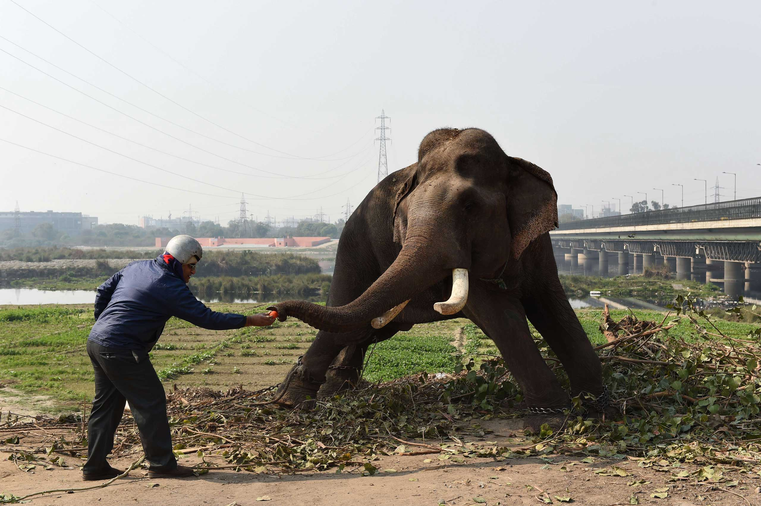 Feb. 6, 2015.                                An Indian passer-by feeds an elephant, which is hired for weddings and parties, on the banks of the river Yamuna in New Delhi, India.