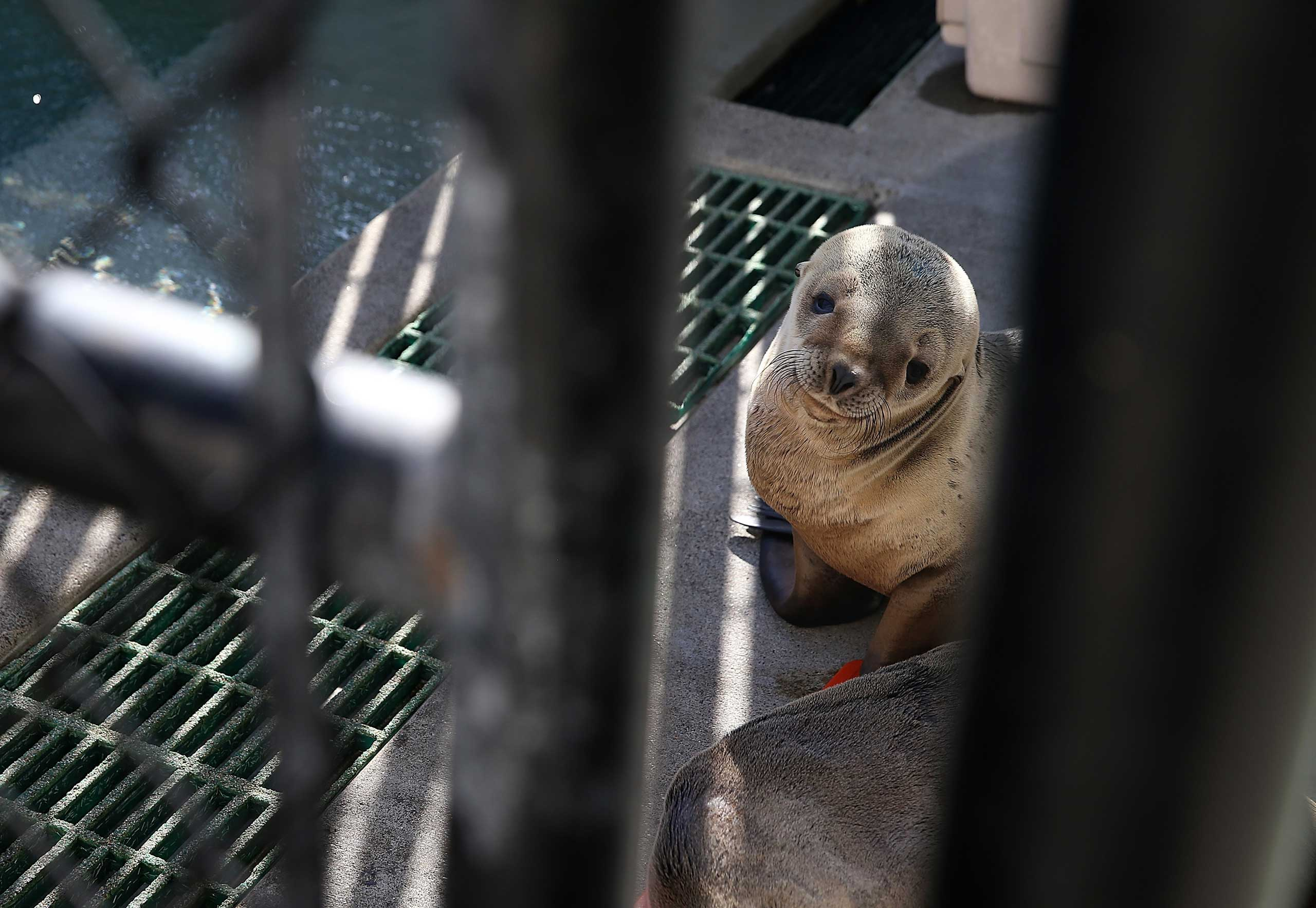 A sick California sea lion pup sits in an enclosure at the Marine Mammal Center on Feb. 12, 2015 in Sausalito, California.