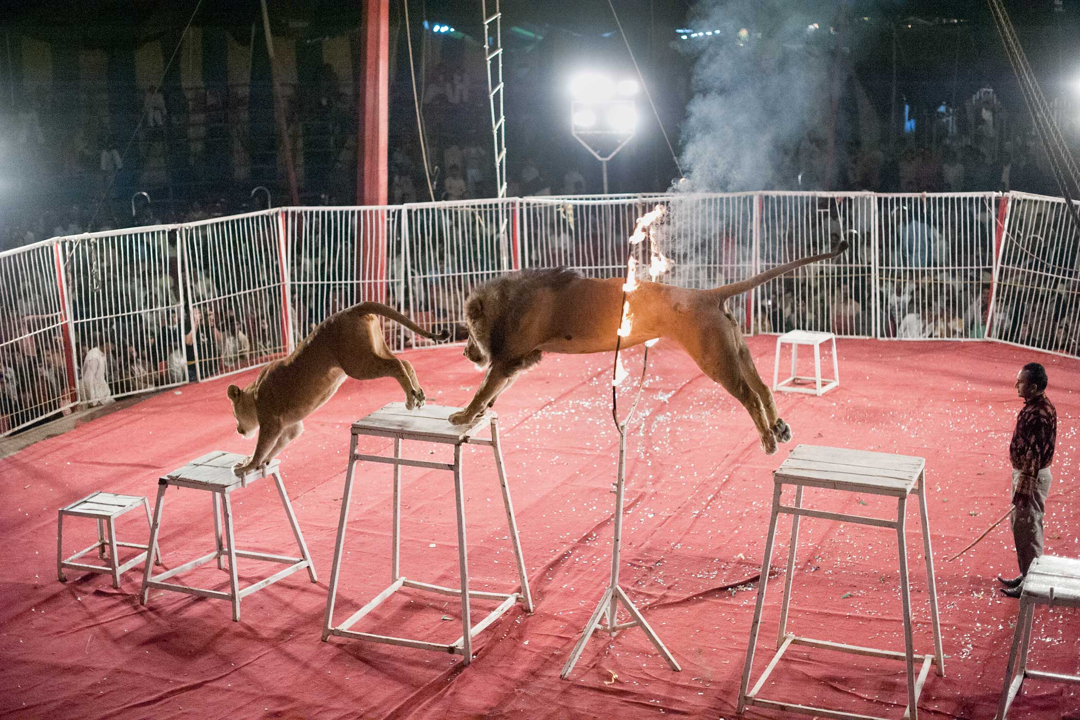 Lucky Irani Circus                               A lion & a tiger jump through a ring of fire during a performance.