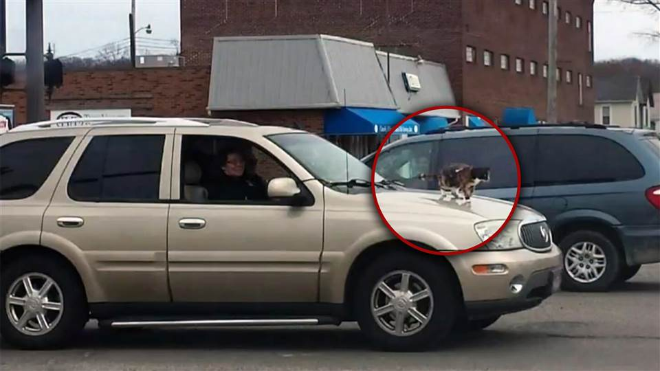 A cat is seen secured on the hood of a vehicle with a leash.