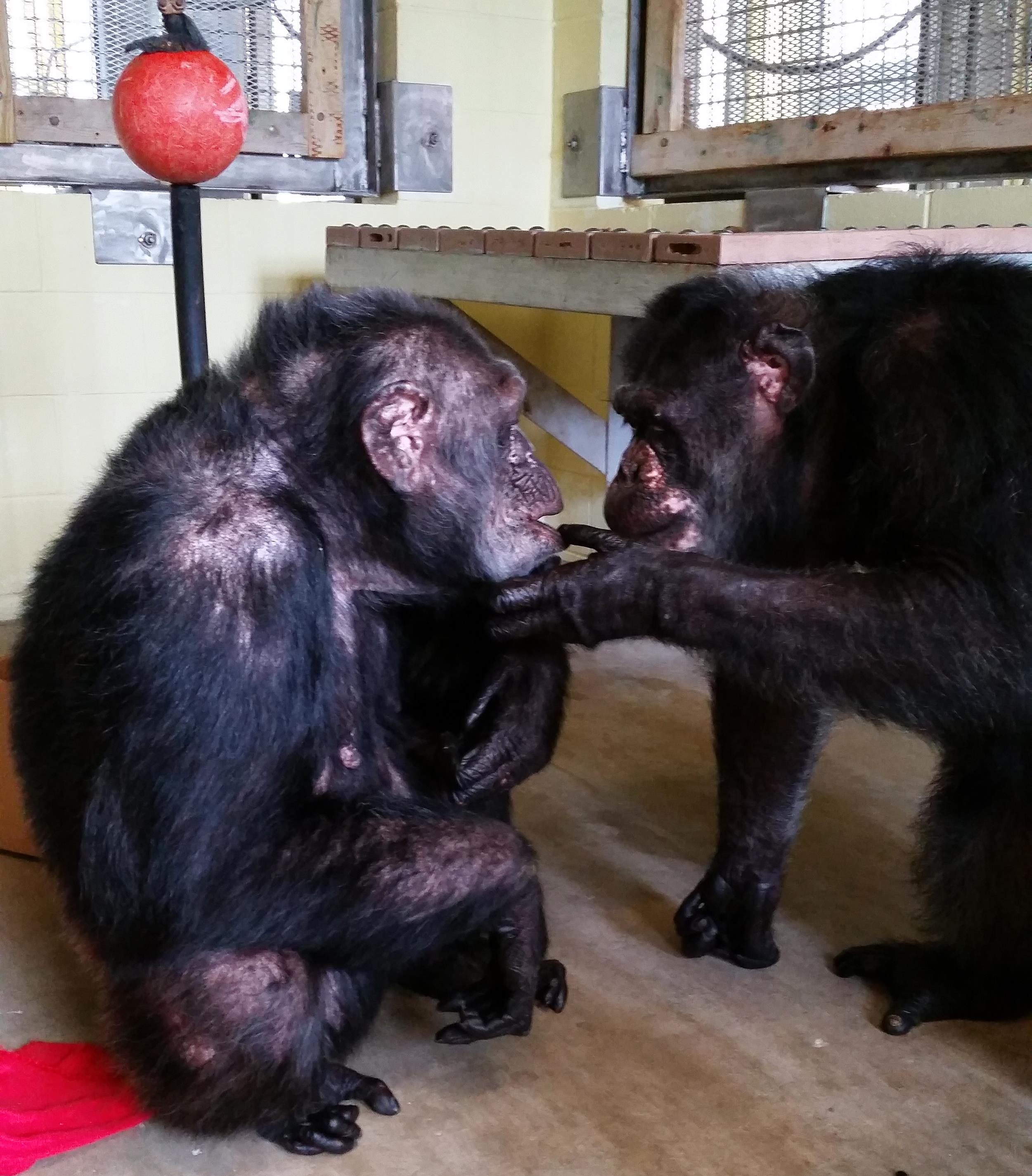 Iris, who did not have any chimp friends at a Georgia zoo, meets her new pal Abdul at the Florida sanctuary she now calls home.