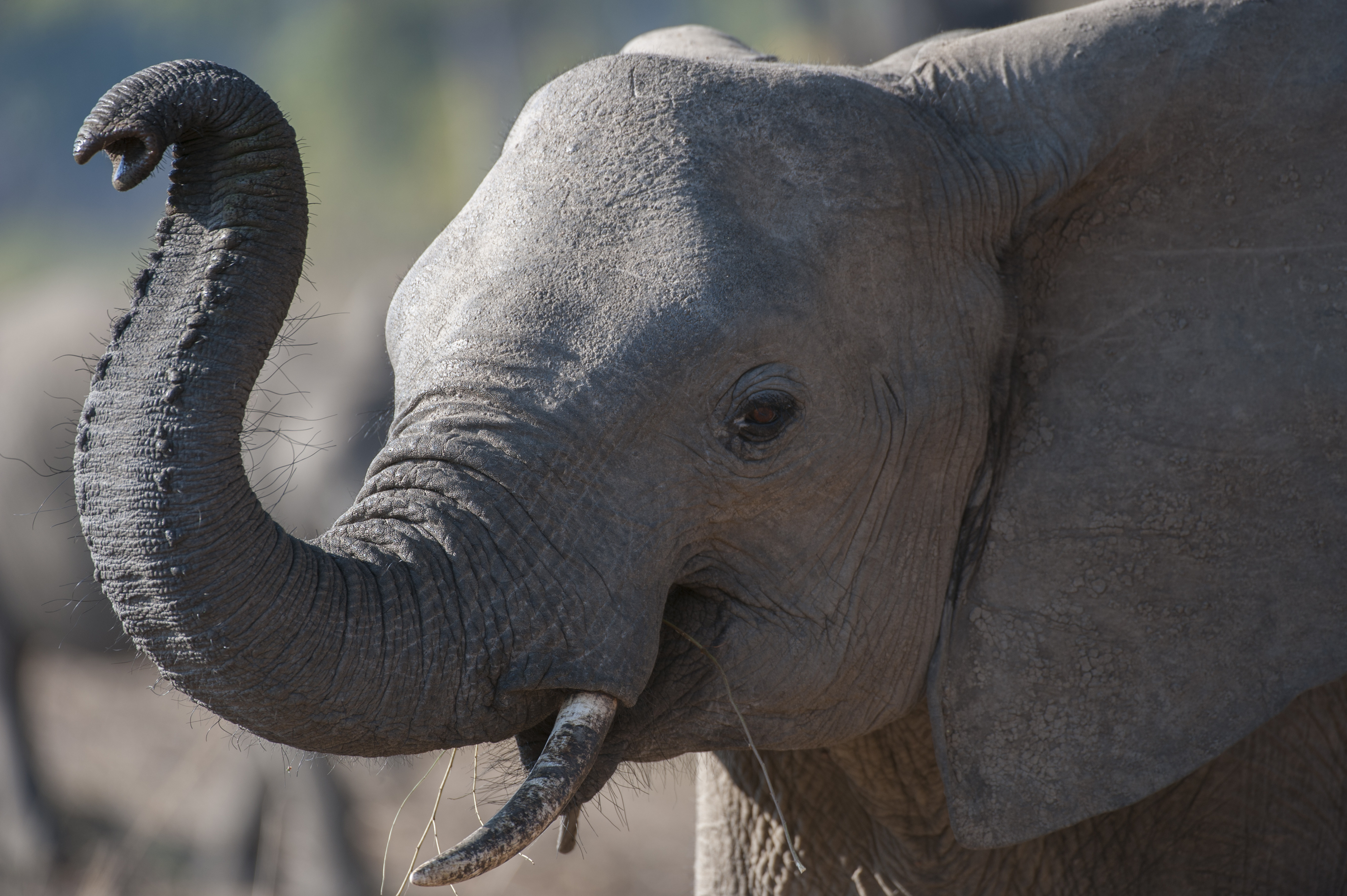 Close-up of African elephant (Loxodonta africana) smelling with trunk in South Luangwa National Park in eastern Zambia