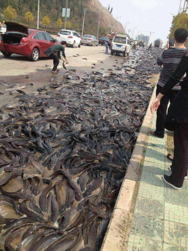 Thousands of kilograms of catfish scatter across the road in the Kaili Development Zone in Qiandongnan Miao and Dong Autonomous Prefecture on March 17, 2015 in Kaili, Guizhou province of China