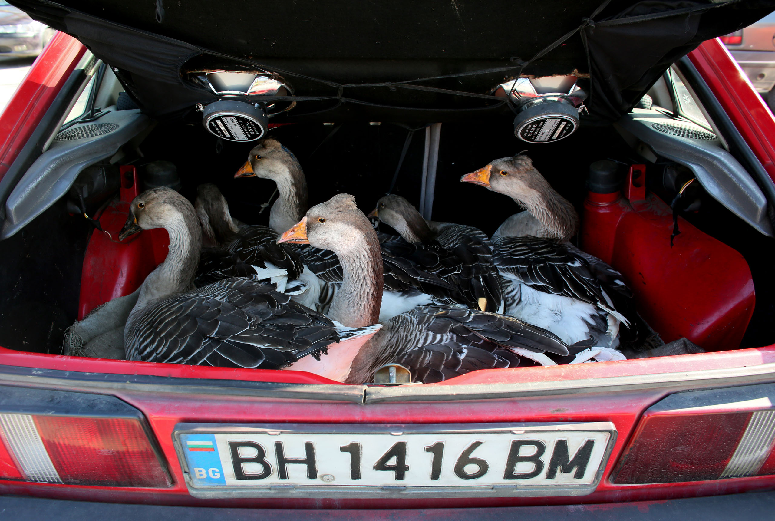 A woman sells geese from the trunk of her car, at an outdoor market in Vidin, Oct.18, 2014.