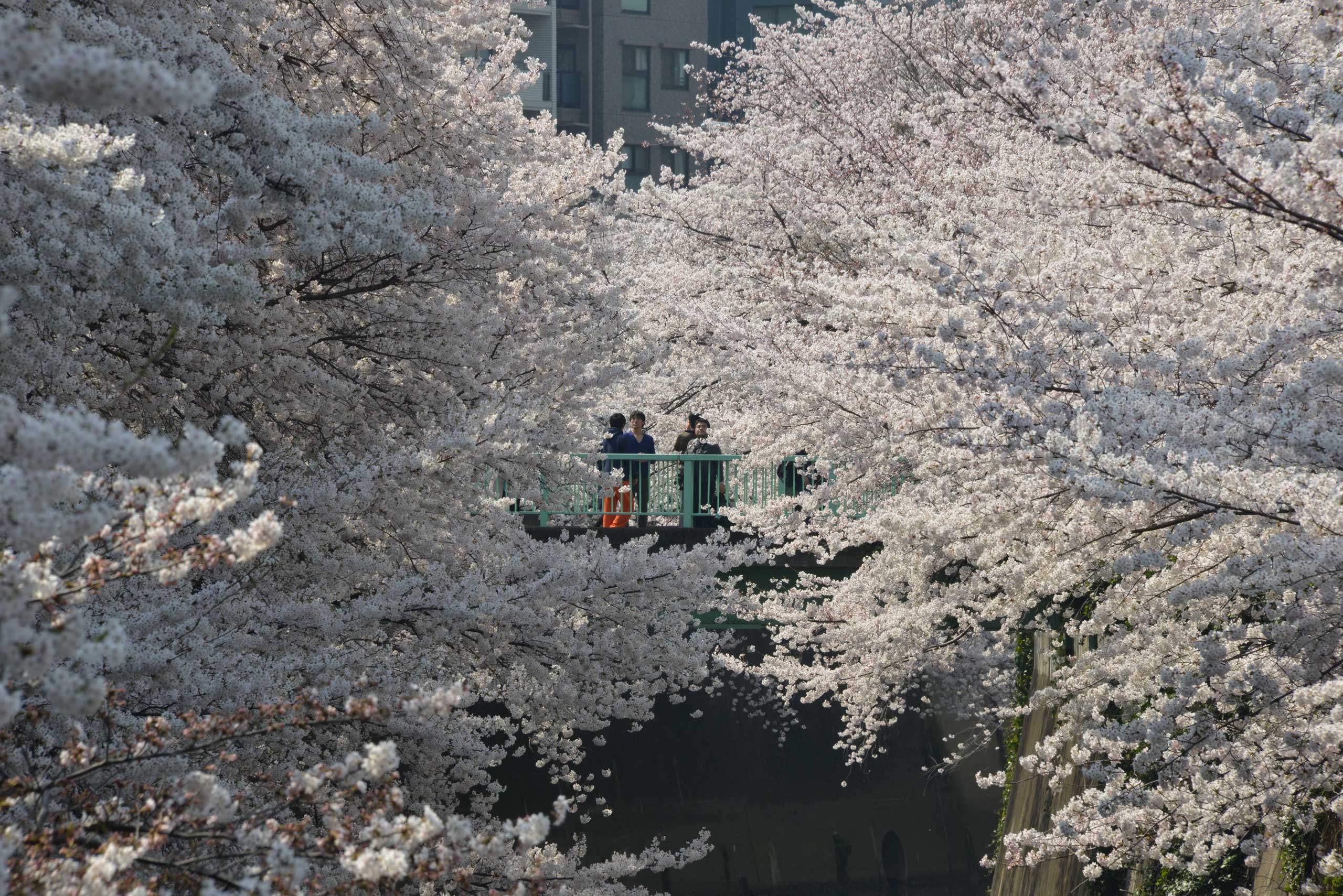 A man takes a picture of cherry blossoms in full bloom in Tokyo, March 30, 2015.