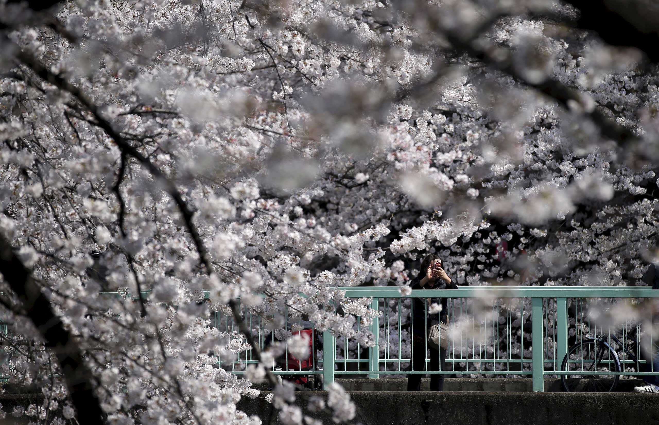 A woman takes a picture of cherry blossoms in full bloom in Tokyo, March 30, 2015.