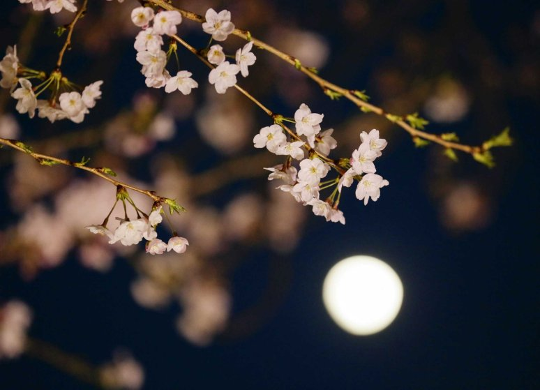 Cherry blossoms in full bloom are seen under the moon in waxing gibbous in Tokyo, March 30, 2015.
